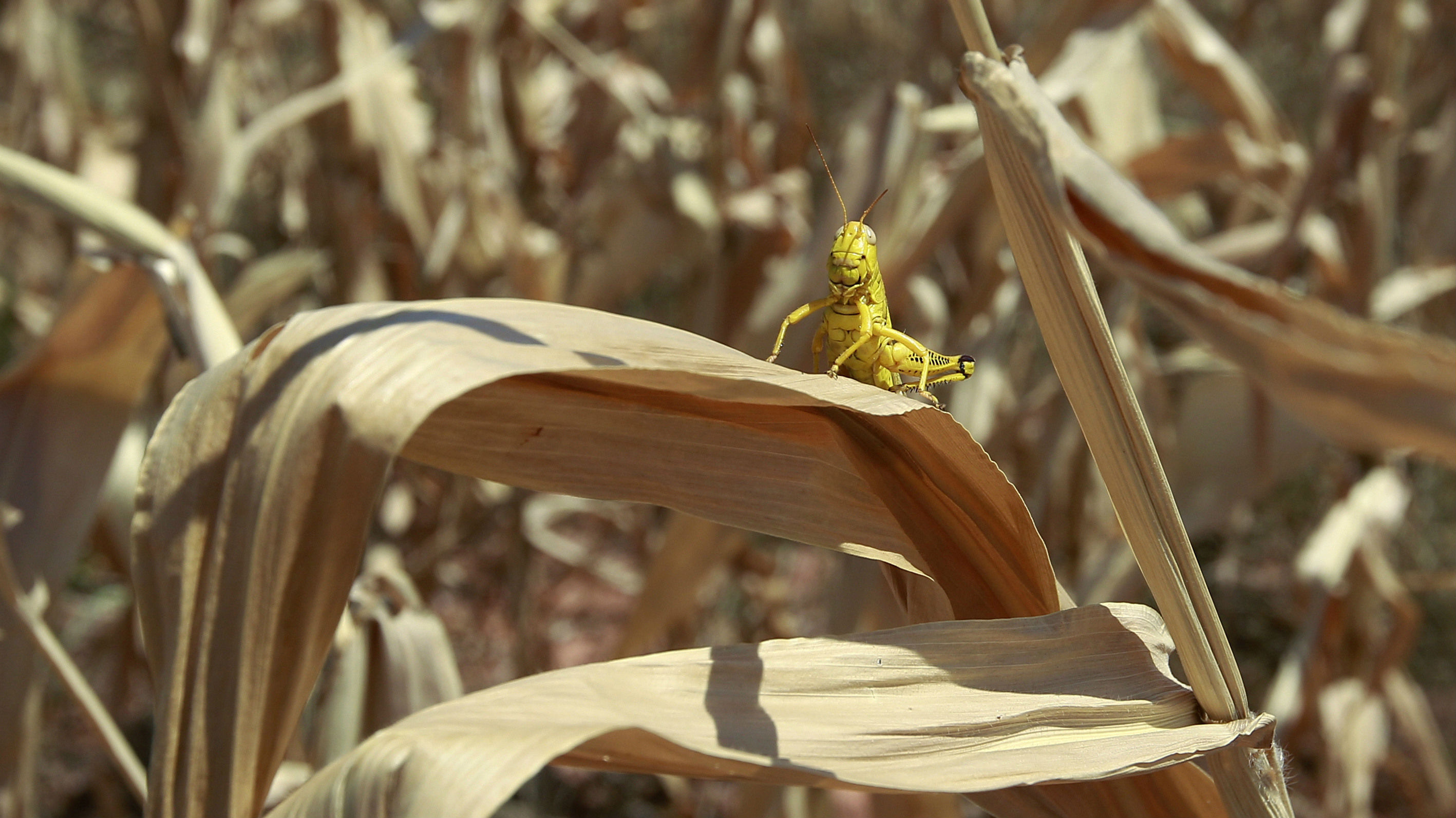 In this Thursday, July 19, 2012, file photo, a grasshopper sits on a dried up leaf on a stalk of corn in a field in Edmond, Okla. Spring rains fired up across parts of the state in May and June, but the U.S. Monthly Drought Outlook for July suggests that drought will persist or intensify across the southern half of the state and into the Panhandle.