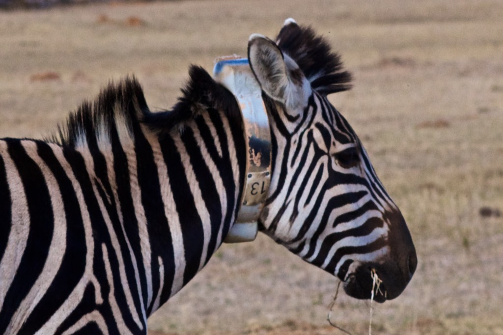 Rhino poaching: IBM's Watson, MTN cellular network, Wageningen University research and zebras used to prevent illegal poaching at Welgevonden Game Reserve
