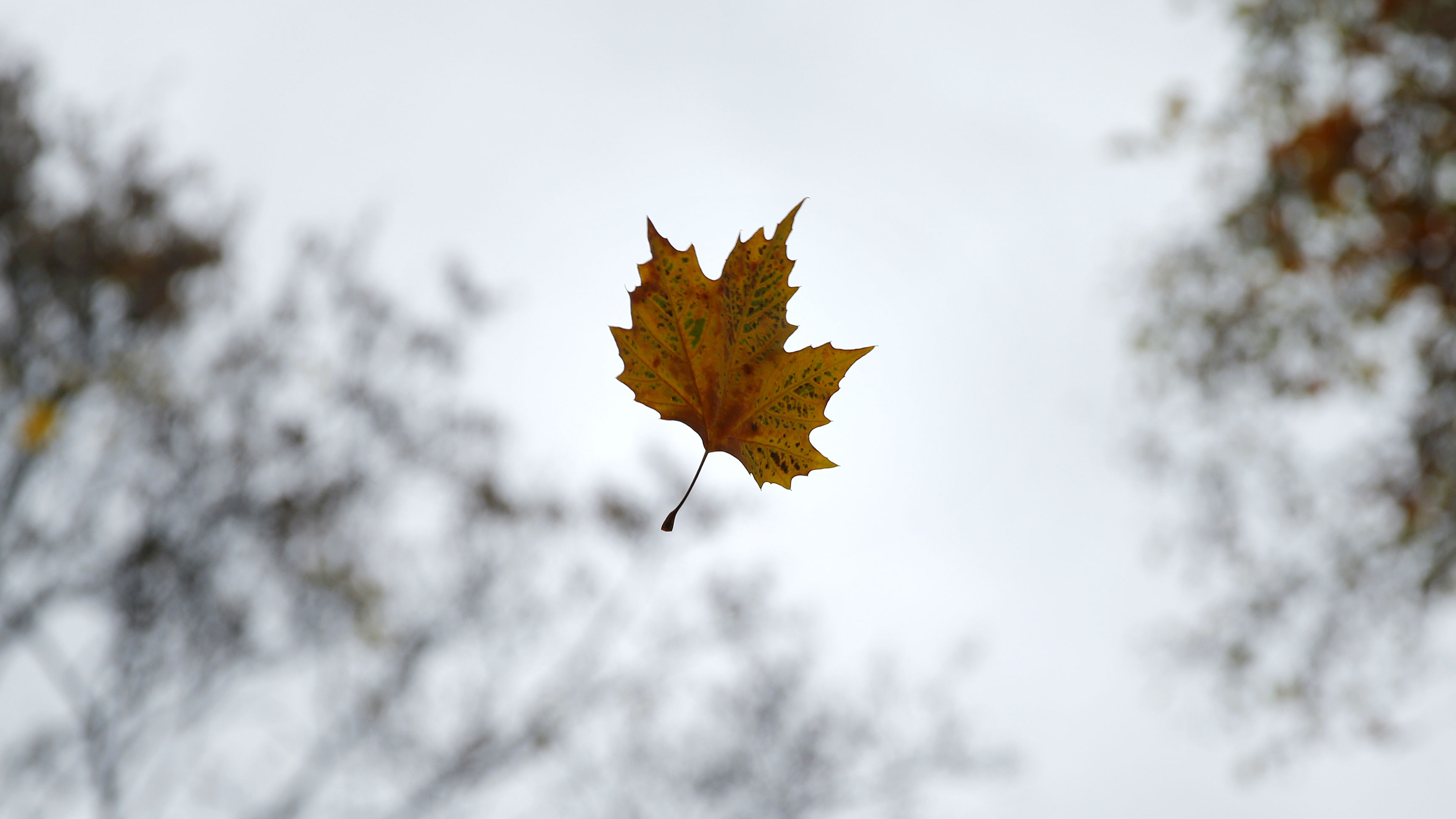2012A leaf falls from a tree on an autumnal day in central London, November 20, 2012.