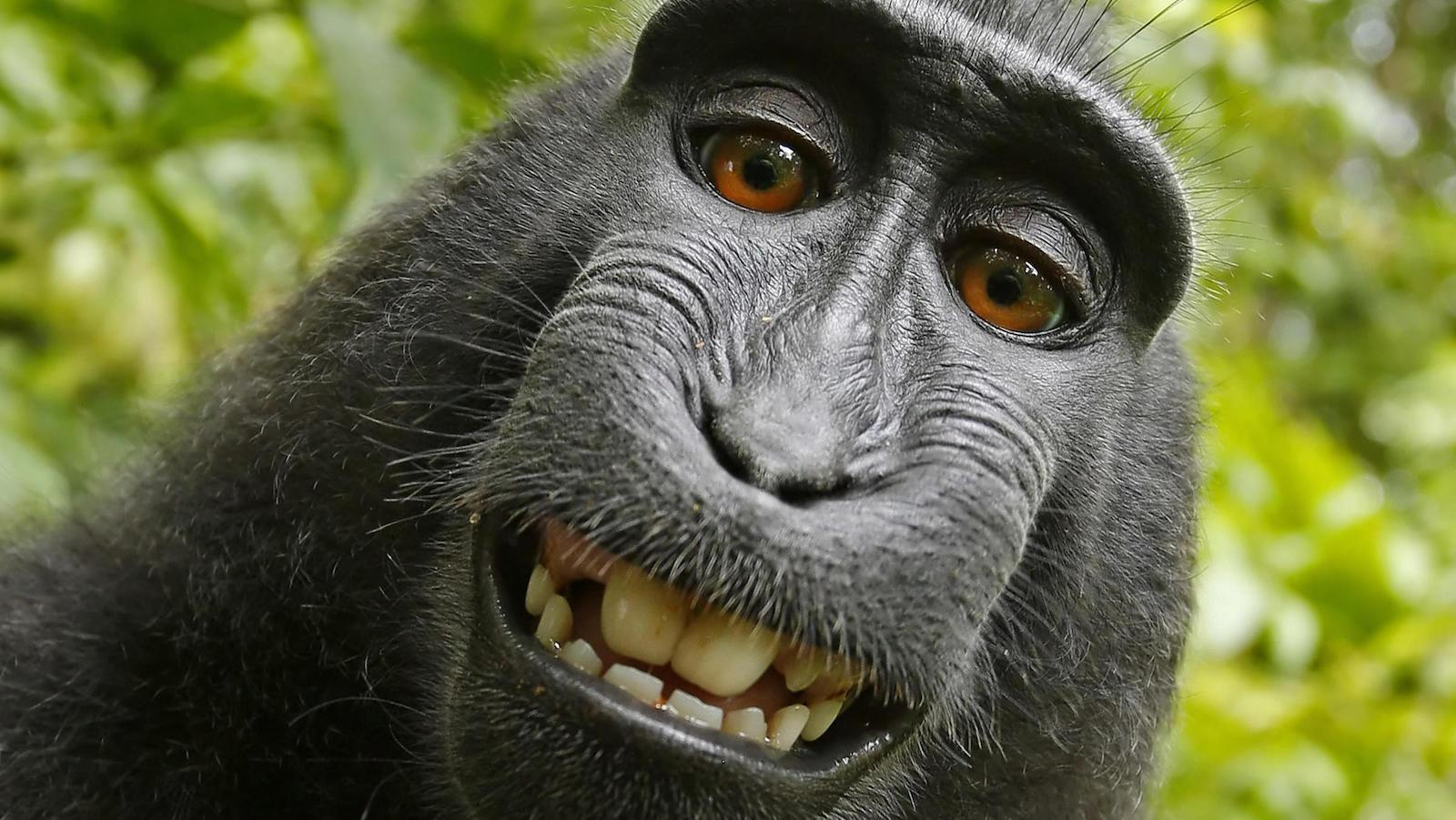 A selfie taken by Naruto, a crested macaque monkey in Indonesia