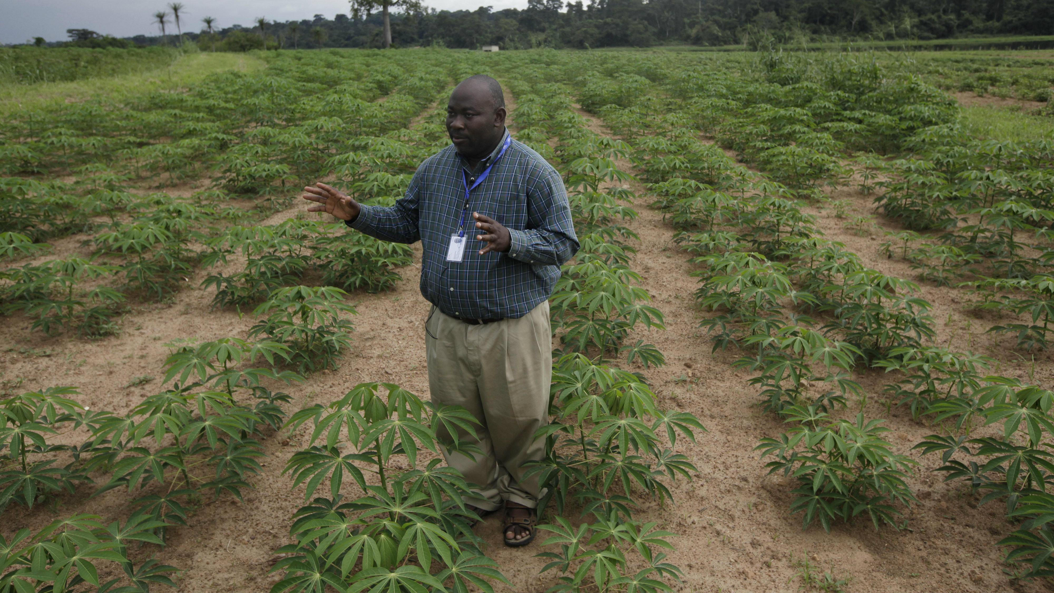 """In this photo taken Tuesday, Oct. 2, 2012. Richardson Okechukwu, a scientist who study cassava speaks to Associated Press in a Cassava farm , """" Come war, Come anything, the farmer who has cassava has food"""" at the International Institutes For Tropical Agriculture, in Ibadan, Nigeria. From this field nestled among the lush rolling hills of Nigeria's southwest, the small plants rising out the hard red dirt appear fragile, easily crushed by weather or chance. Looks, however, are deceiving. These cassava plants will grow into a dense thicket of hard, bamboo-like shoots within a year, with roots so massive a single planted hectare can provide three tons of food. The plants survive fires, droughts and pestilence, while offering a vital food source for more than 500 million people living across sub-Saharan Africa."""