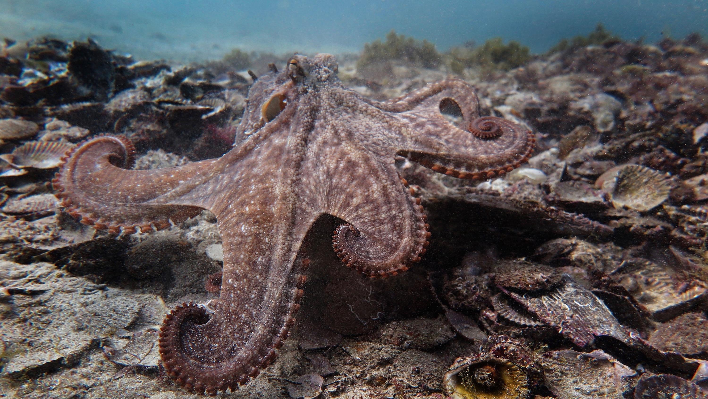Gloomy octopus in Octlantis.