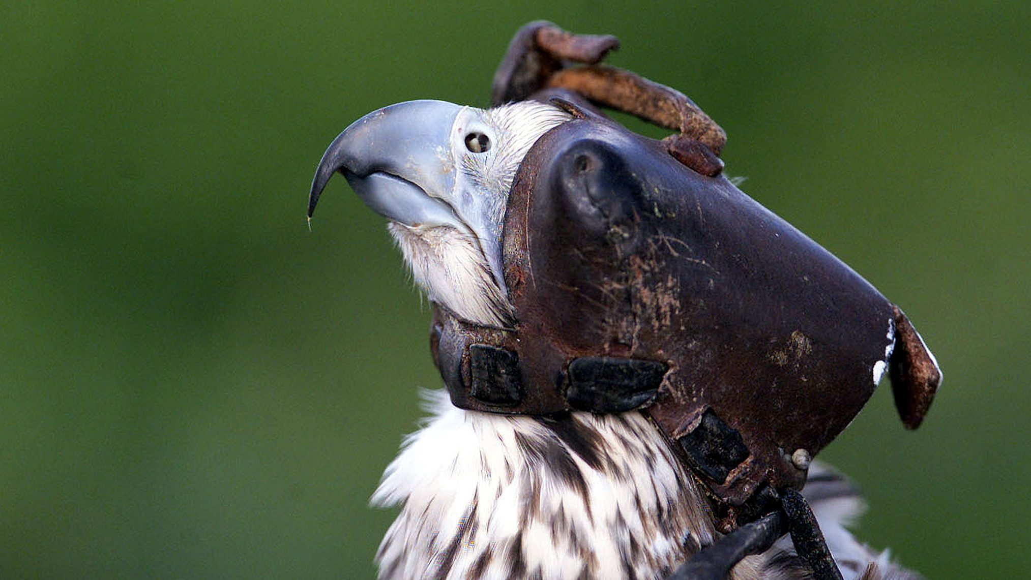 A Sacre falcon named Yeur wears a leather blinder in the vineyards at Chateau Quinault in Saint Emilion on September 11, 2002. The vineyard owners employ a falconer and his birds to protect the vines against starlings who peck and damage grapes as they ripen during the three months before the harvest season.