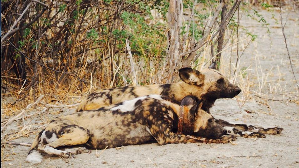 Dominant wild dog couple in Botswana.