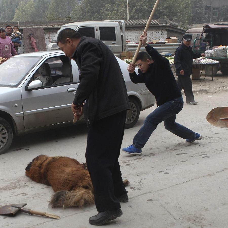 Tibetan mastiffs: Abandoned by rich Chinese, thousands of