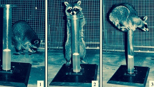 Raccoons do Aesop's Fable test.