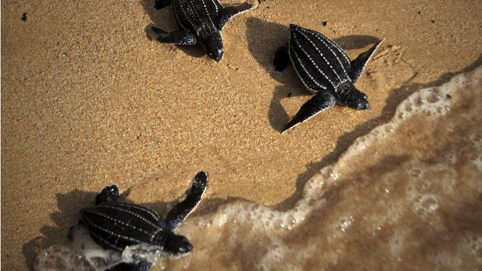 Baby turtles make their way into the ocean upon their release during a campaign to save sea turtles on Lampuuk beach in Aceh Besar, Indonesia, Monday, April 8, 2013. Sea turtles in Indonesia have long suffered from poaching for their meat, fat, shells and eggs.