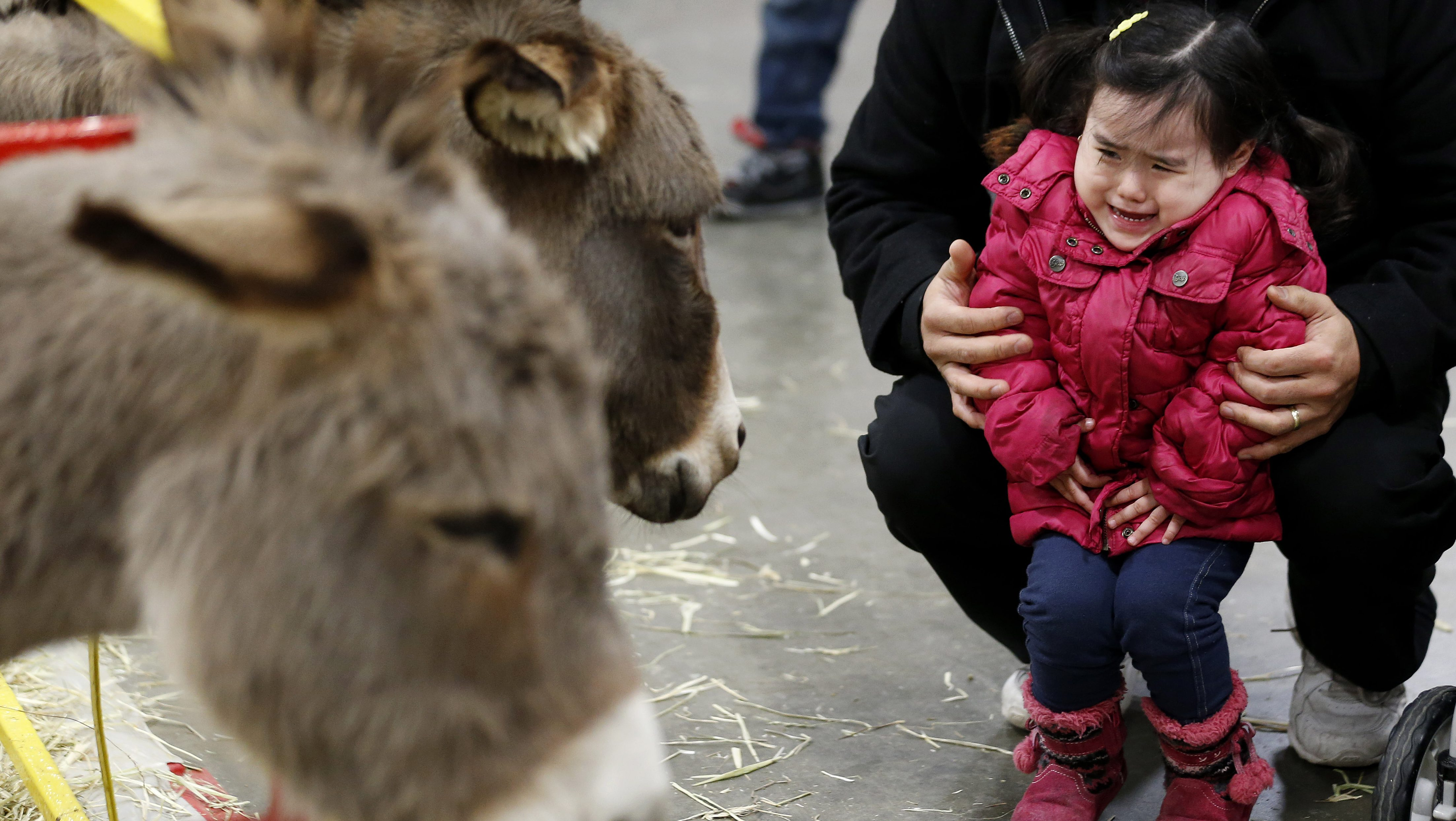 Joy Leroux, 2, is held by her father, Christian Leroux, while reacting to donkeys approaching her at the Kids Fun Fair & Traveling Zoo at the Meadowlands Exposition Center, Monday, Jan. 21, 2013, in Secaucus, N.J. The traveling zoo, which features carnival rides and petting zoo, closes out its weekend in New Jersey and will continue on to Syracuse, N.Y., next weekend. (AP Photo/Julio Cortez)
