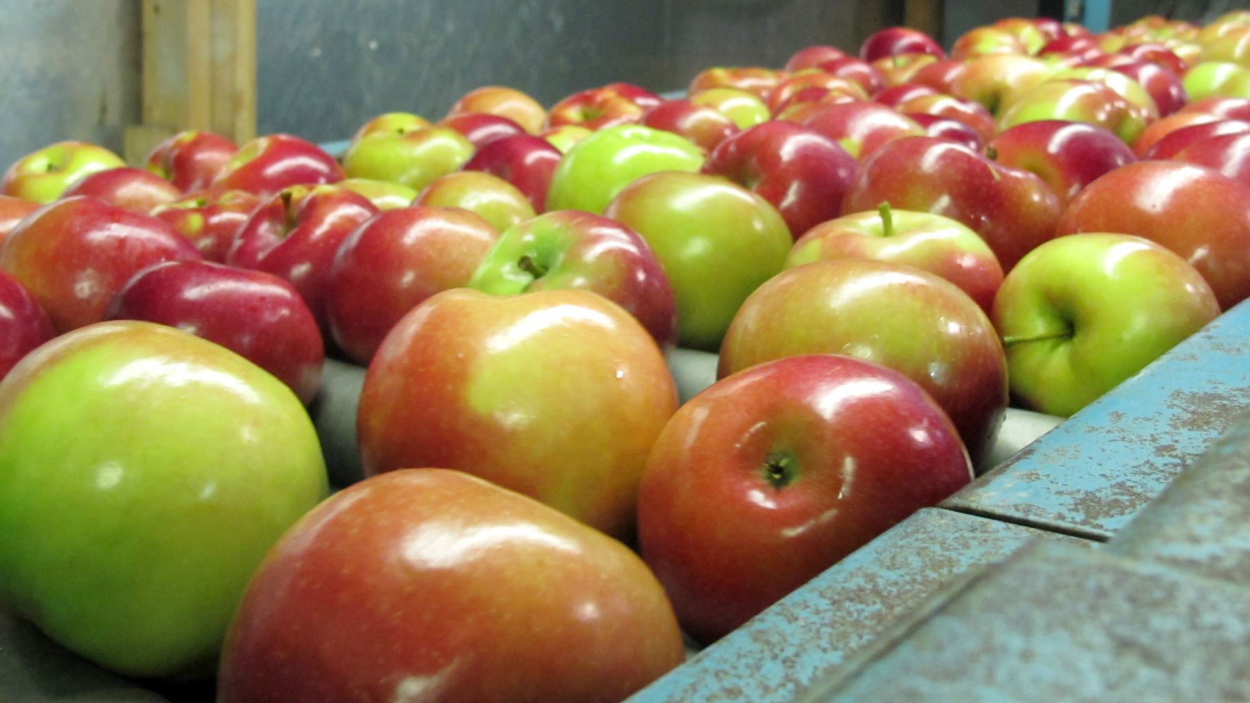 In this Nov. 7, 2013 photo apples moving along a conveyor line at the King Orchards production warehouse in Central Lake, Mich. This year's Michigan apple crop is expected to be 10 times as plentiful as last year's.
