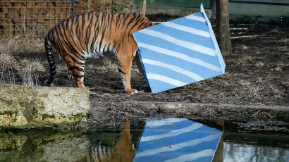 Sumatran tiger Melati looks inside a present box put out to celebrate the first birthday of her cub triplets in their enclosure at London Zoo in London, February 4, 2015. The Zoo left gifts for the cubs in their enclosure, but they were afraid to approach the boxes, leaving their mother to enjoy their contents. REUTERS/Stefan Wermuth (BRITAIN - Tags: ANIMALS ENVIRONMENT TPX IMAGES OF THE DAY) - LM1EB240ZTG01