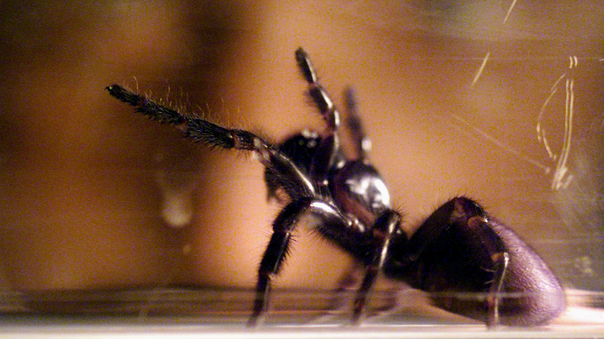 A funnel web spider rearing as it is milked for venom.
