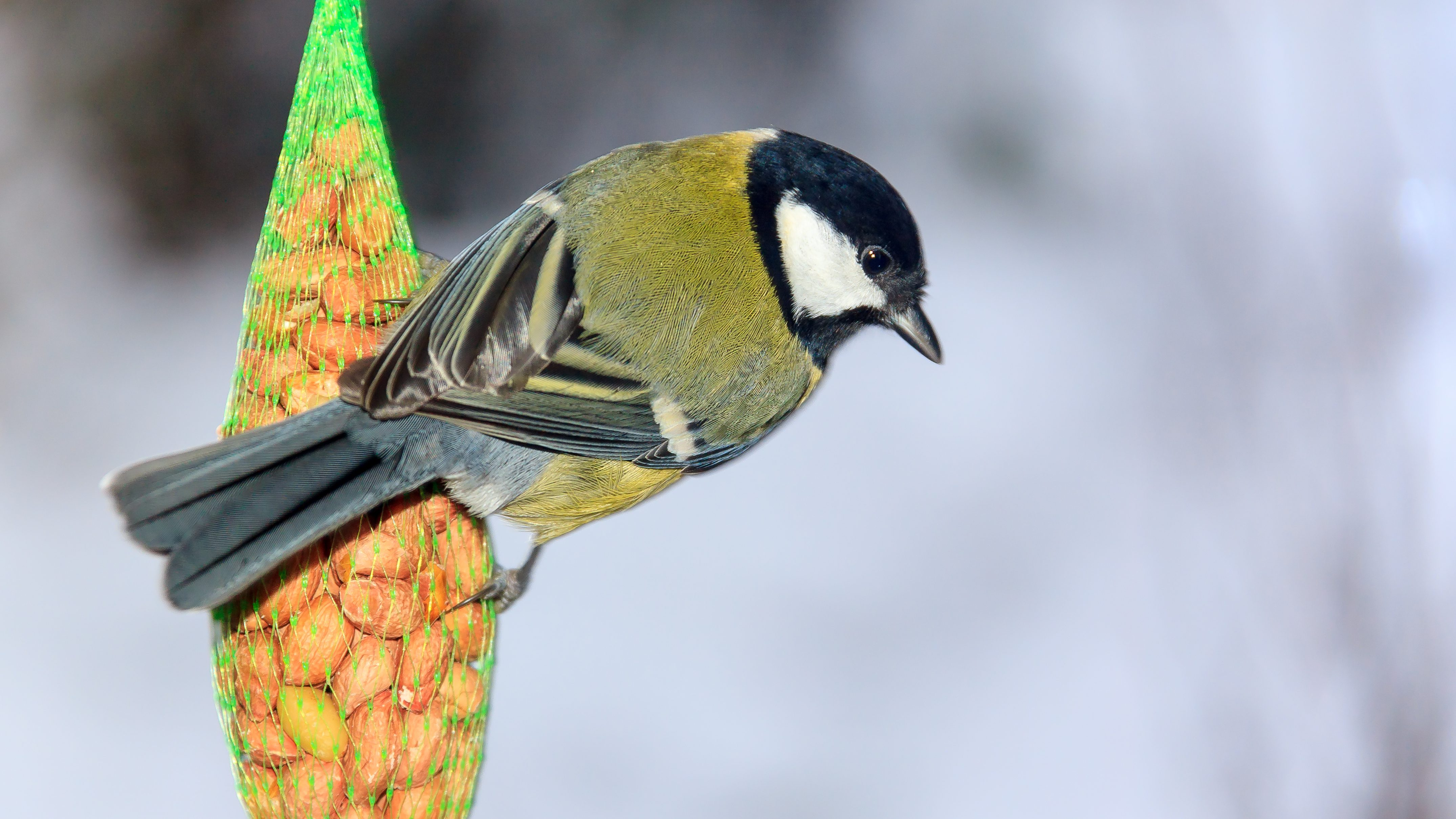 The great tit is one of the most common backyard birds in the UK.