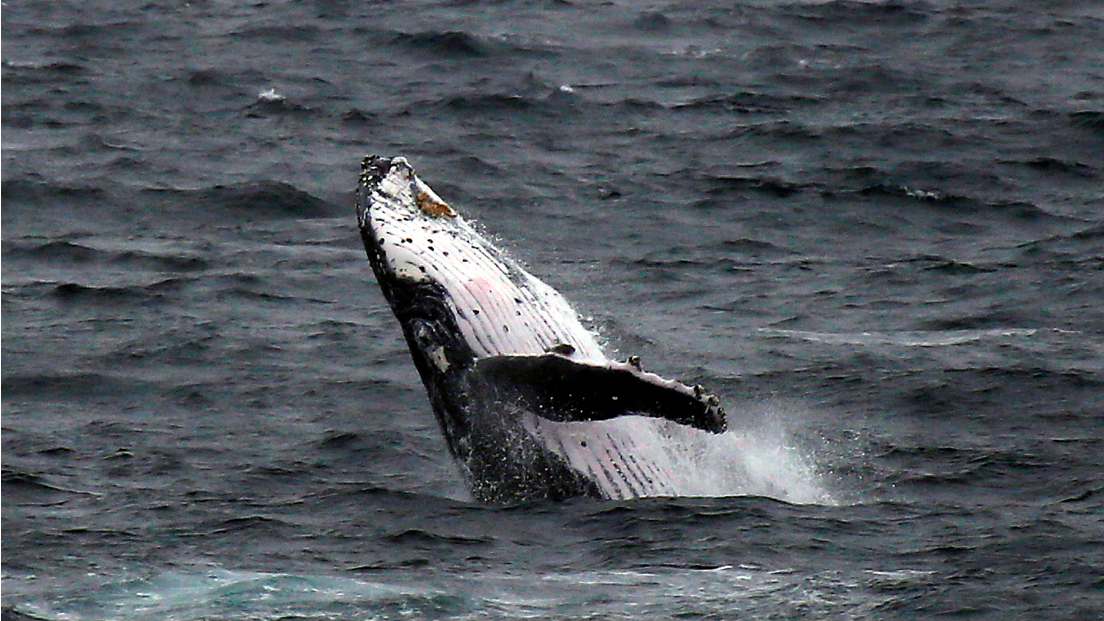 A humpback whale breaches off the coast at Clovelly Beach in Sydney, Australia, June 19, 2016.