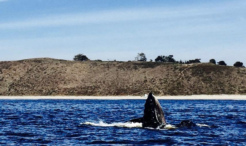 Monterey Bay humpback.