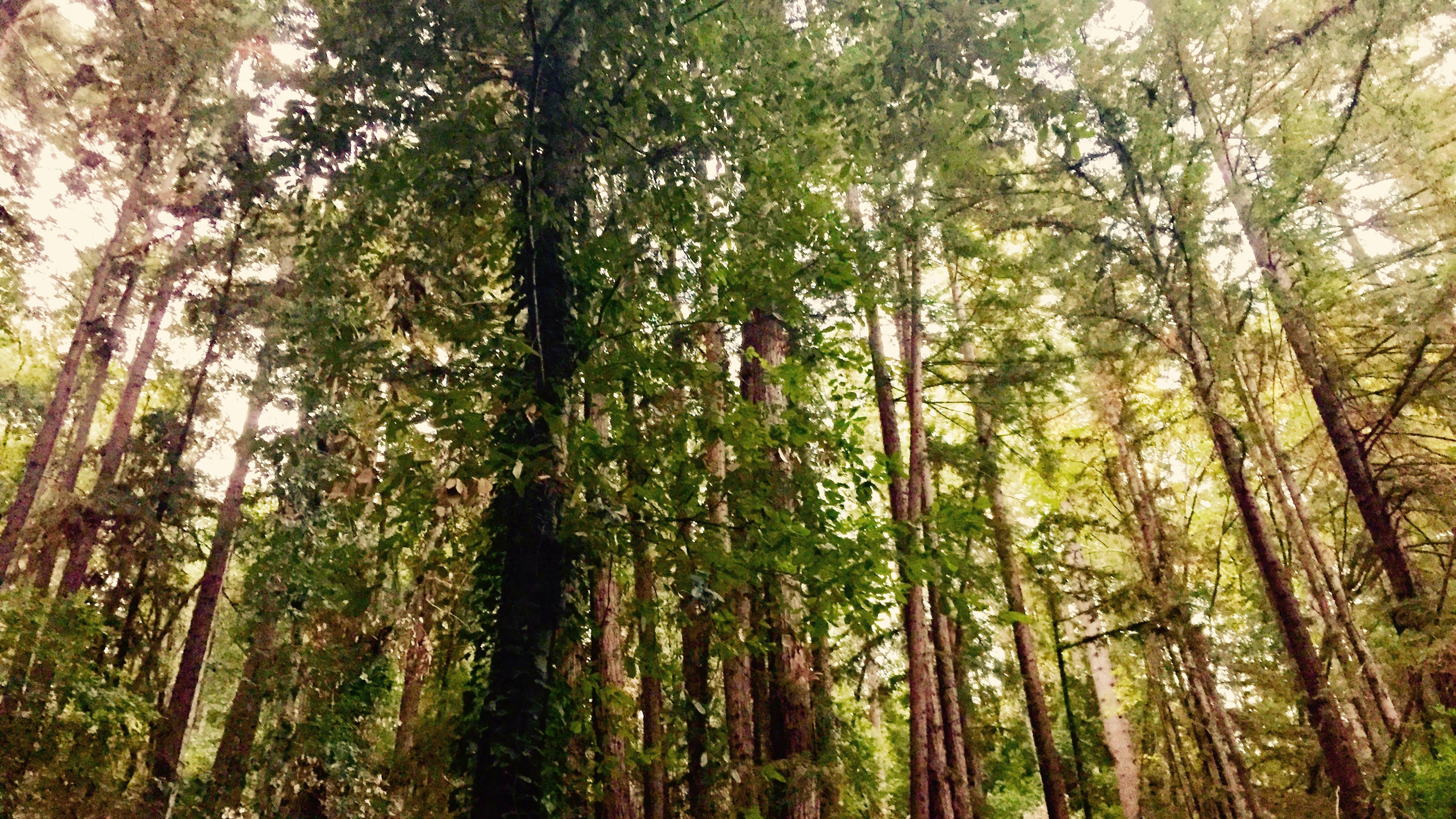 Young redwoods in Lompico, CA.