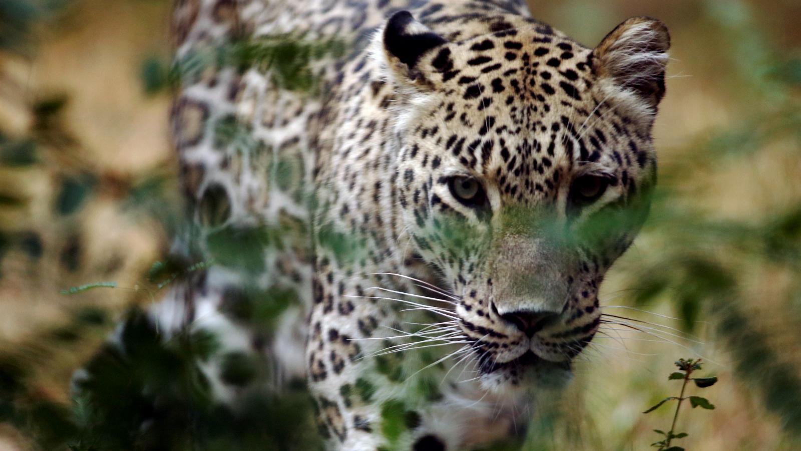 Leopard-Maruti-Suzuki