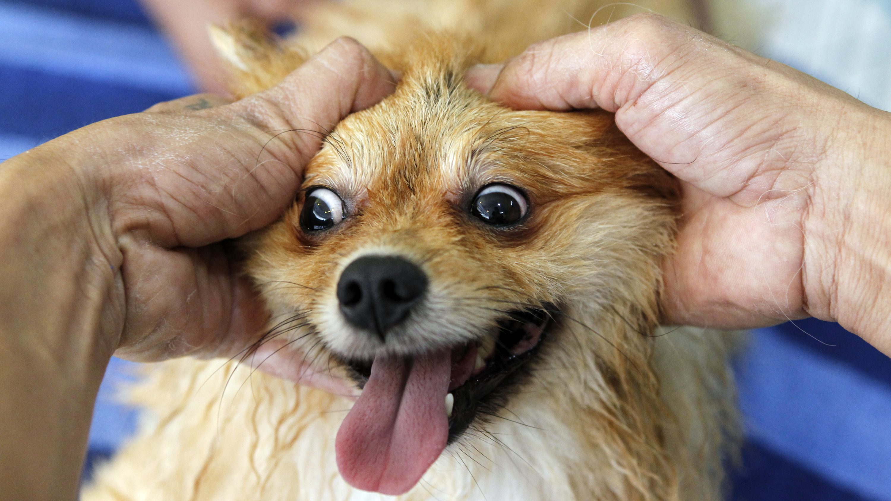 Pepito, a pomeranian, gets a massage at a dog spa in Cainta, Metro Manila July 19, 2011. While dog grooming is becoming popular in major cities in the Philippines, local reports say about 500,000 dogs are killed as dog meat is considered a delicacy in some parts of the country. The Philippine Animal Welfare Act prohibits torturing and killing of dogs for commercial sale.