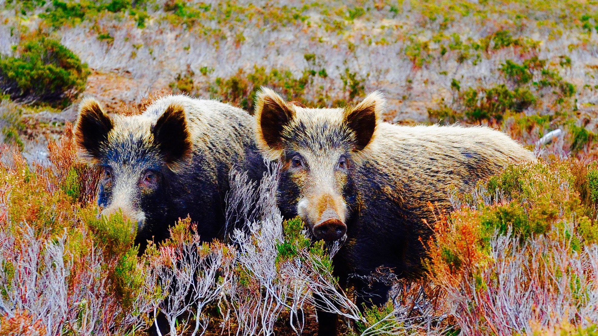 Wild boars in the wild.
