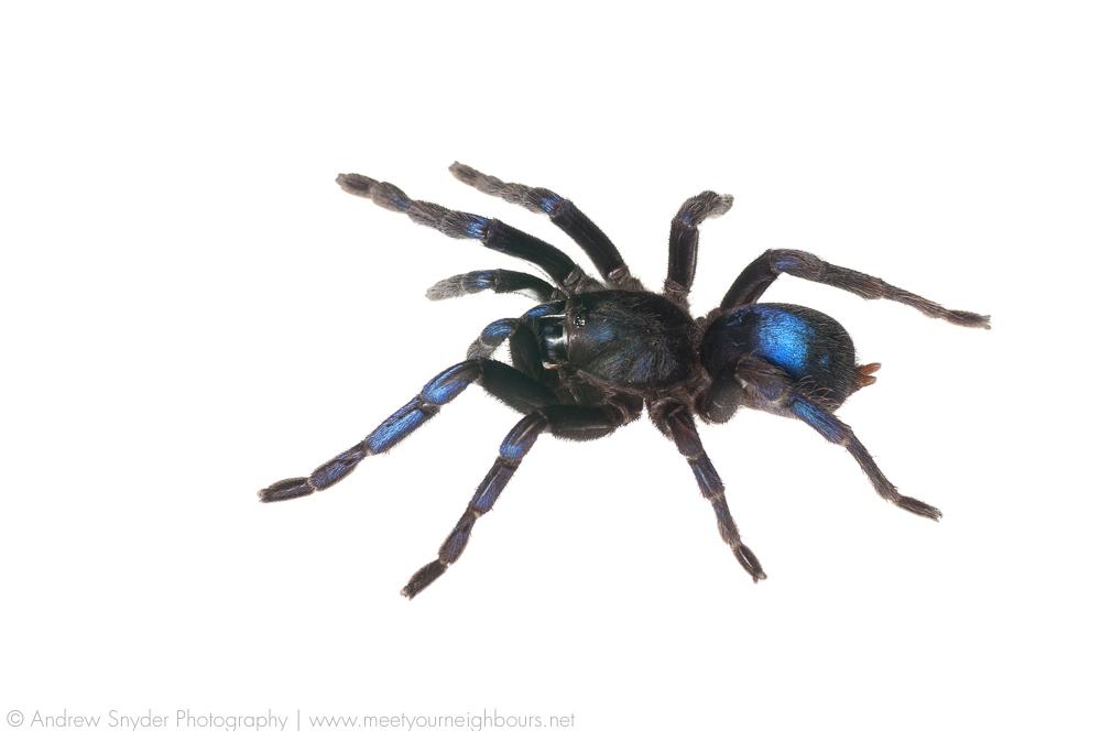 The cobalt blue tarantula.
