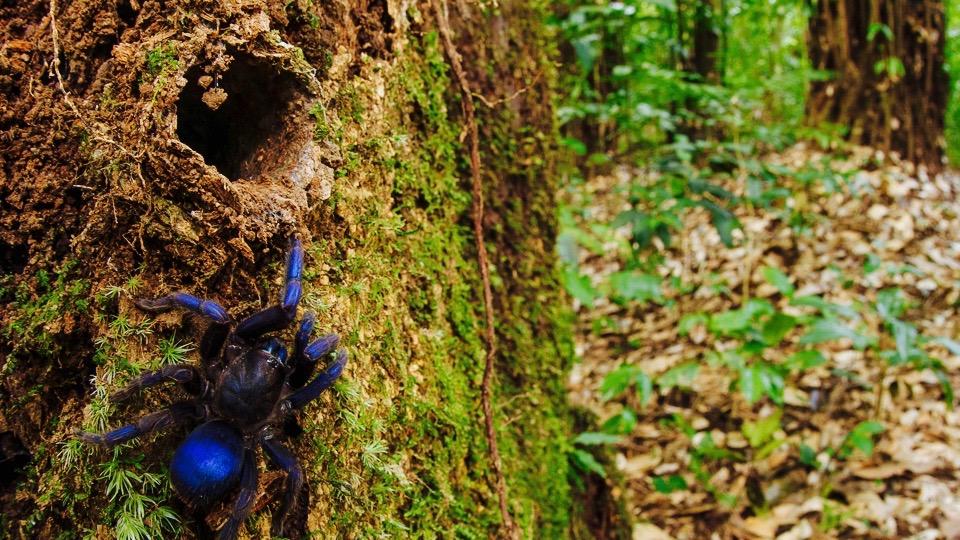 Cobalt blue tarantula on tree.