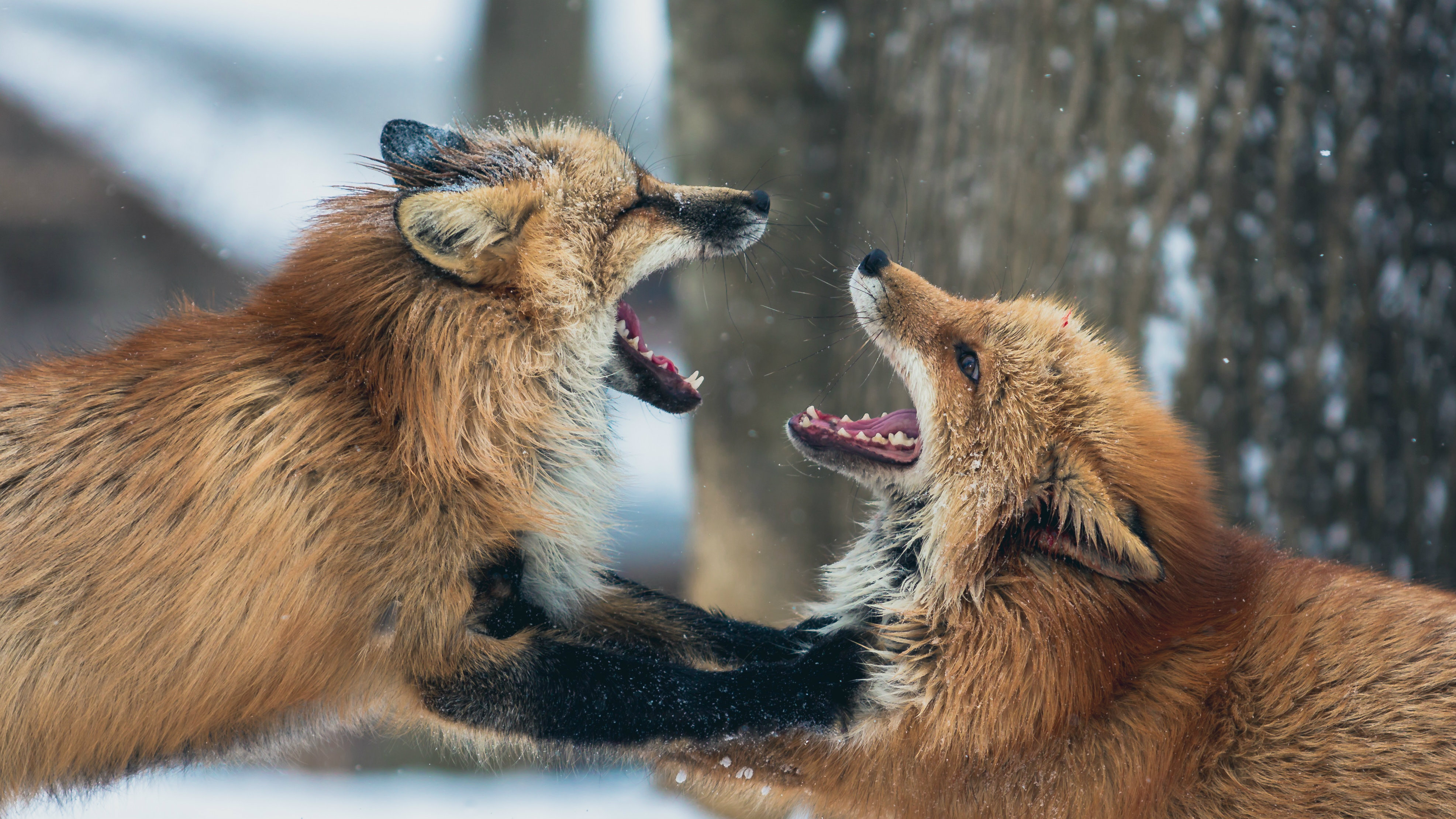 Two foxes fight