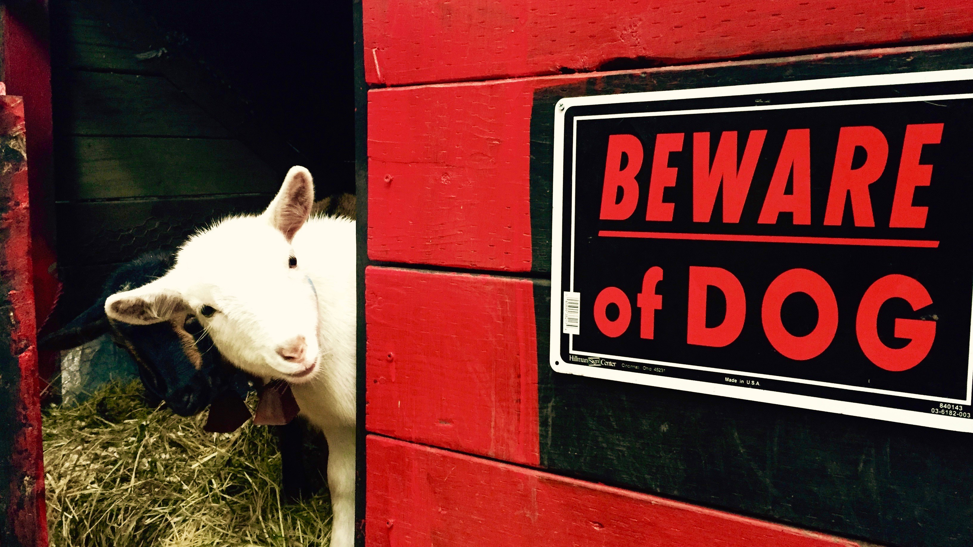 "Dwarf goats near ""Beware of Dog"" sign."
