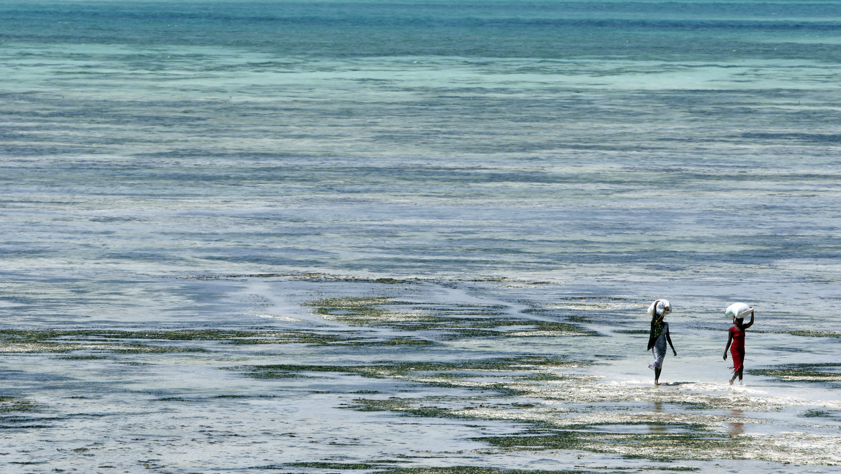 Women carry collected seaweed in the village of Jambiani in Zanzibar