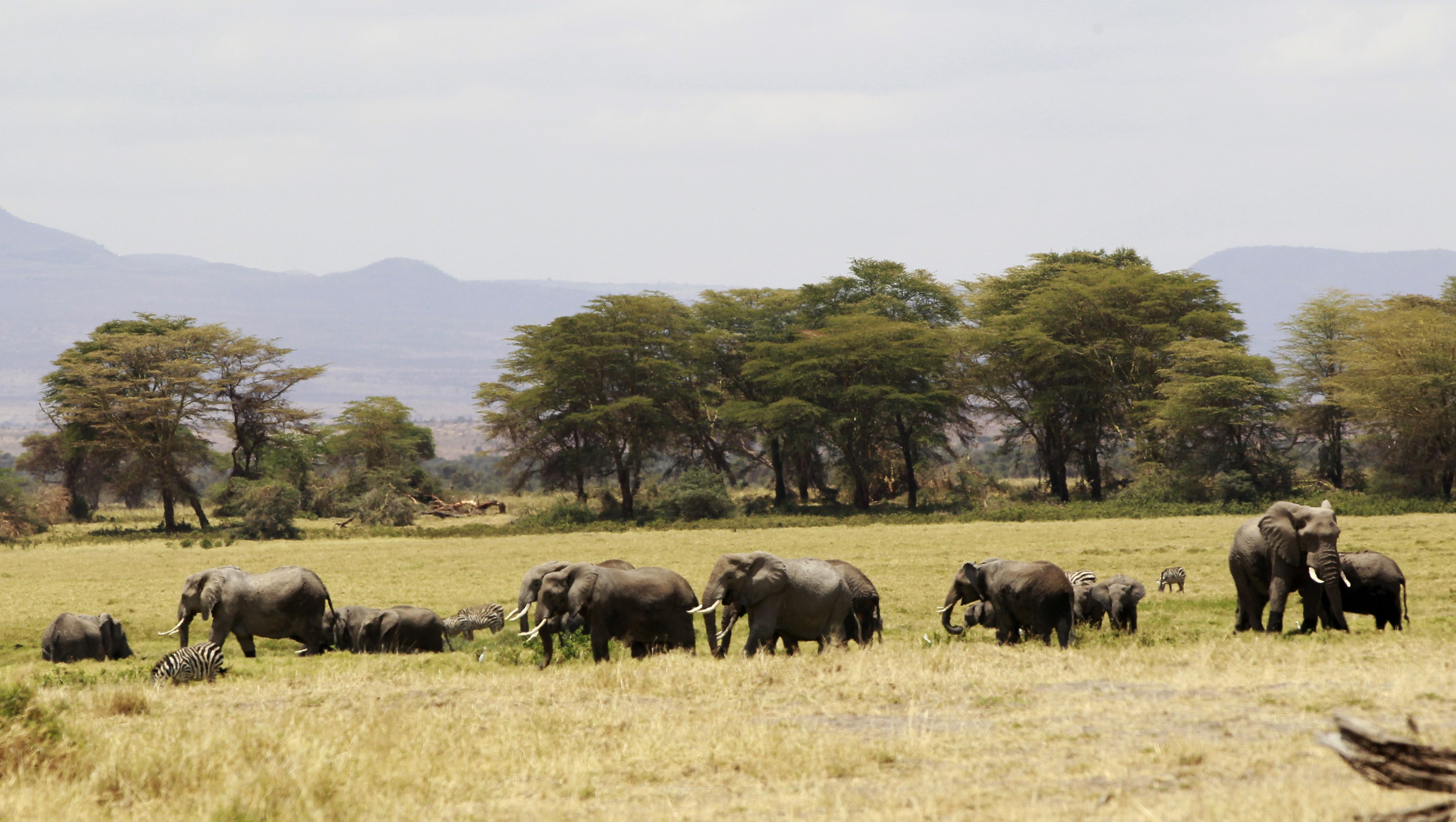 A family of elephants graze in the open land during a census at the Amboseli National Park, 290 km (188 miles) southeast of Kenya's capital Nairobi, October 9, 2013.