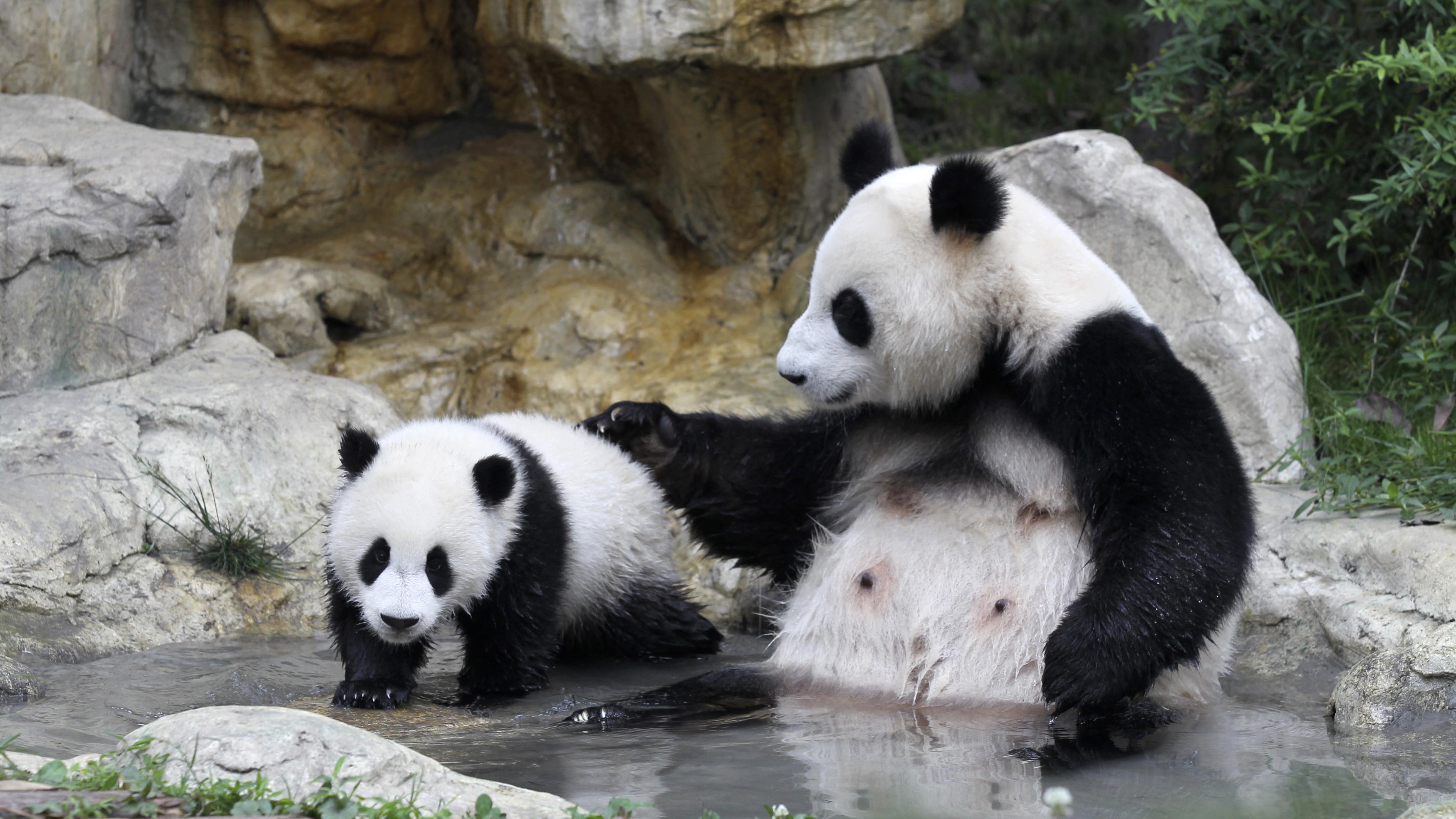 A giant panda cub (L) and its mother play by a pond as they take a bath at the Chengdu Research Base of Giant Panda Breeding in Chengdu, Sichuan province May 14, 2013. Picture taken May 14, 2013. REUTERS/China Daily (CHINA - Tags: ANIMALS SOCIETY) CHINA OUT. NO COMMERCIAL OR EDITORIAL SALES IN CHINA - GM1E95F10JT01
