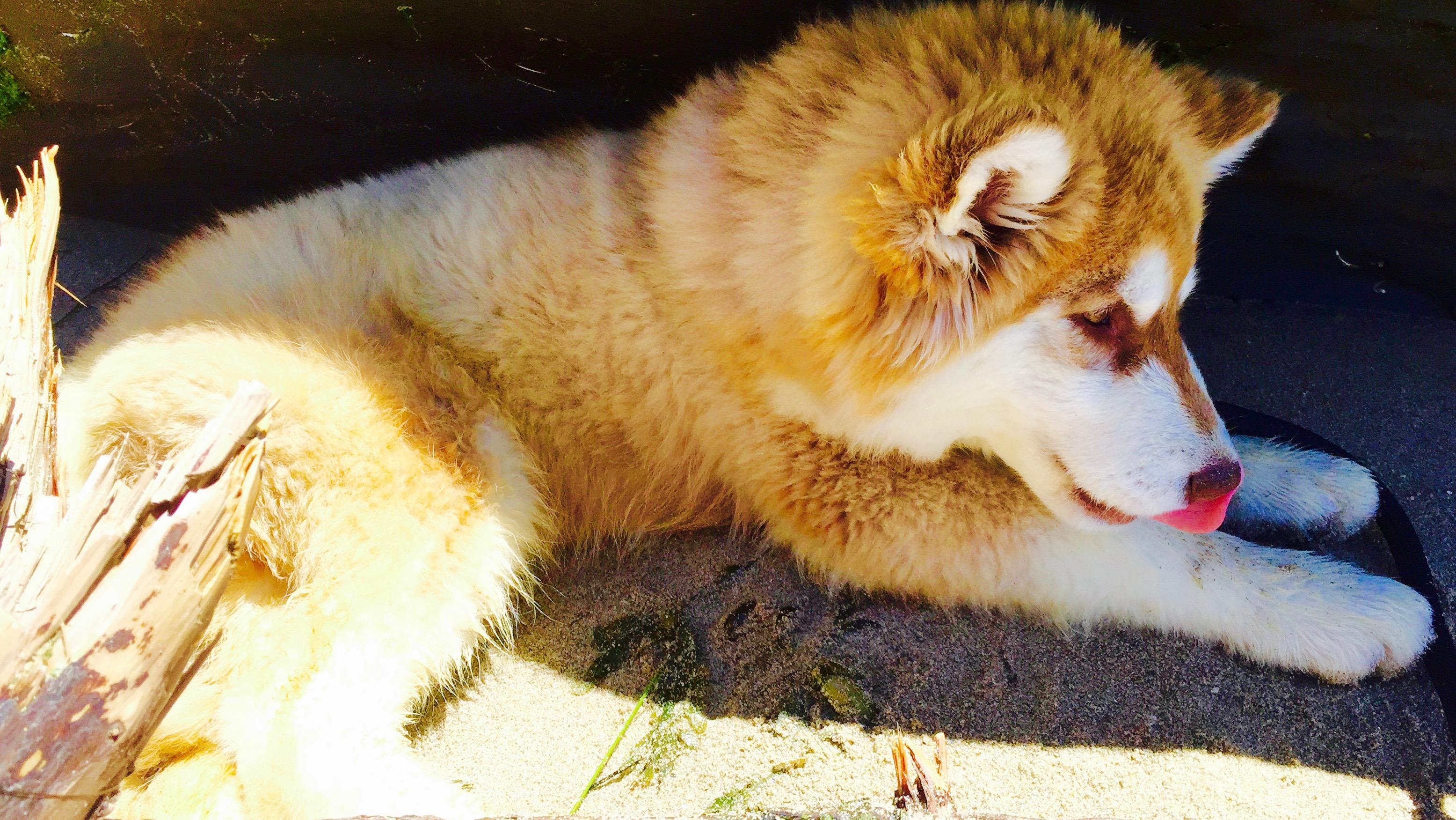 Husky malamute pup at the beach.