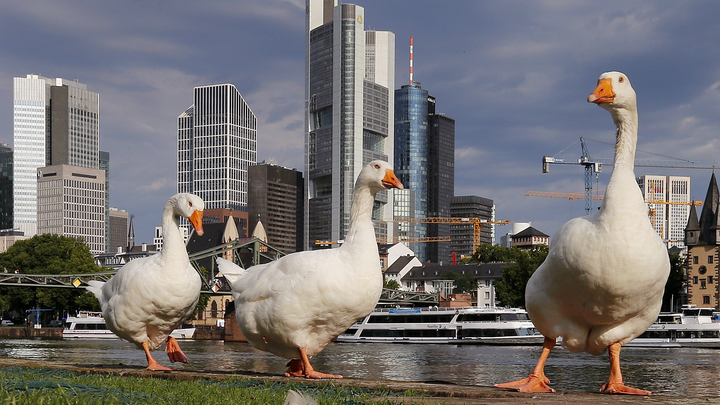 Three big white geese stand on a way near the river Main in Frankfurt, Germany, Tuesday, Aug. 1, 2017.