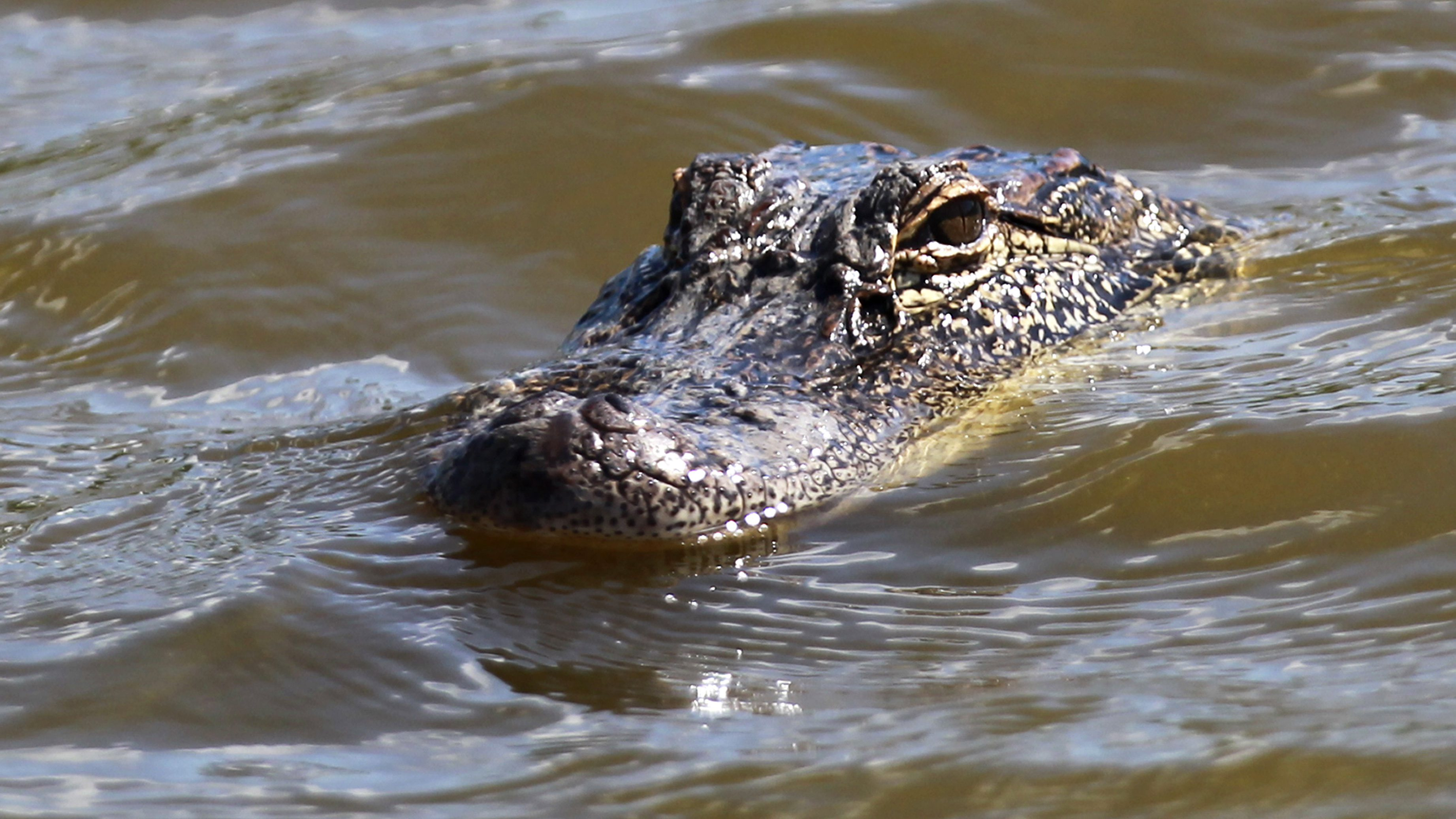 An alligator peers from a lagoon next to the 16th hole during the third round of the Zurich Classic golf tournament at TPC Louisiana in Avondale, La., Saturday, April 28, 2012.