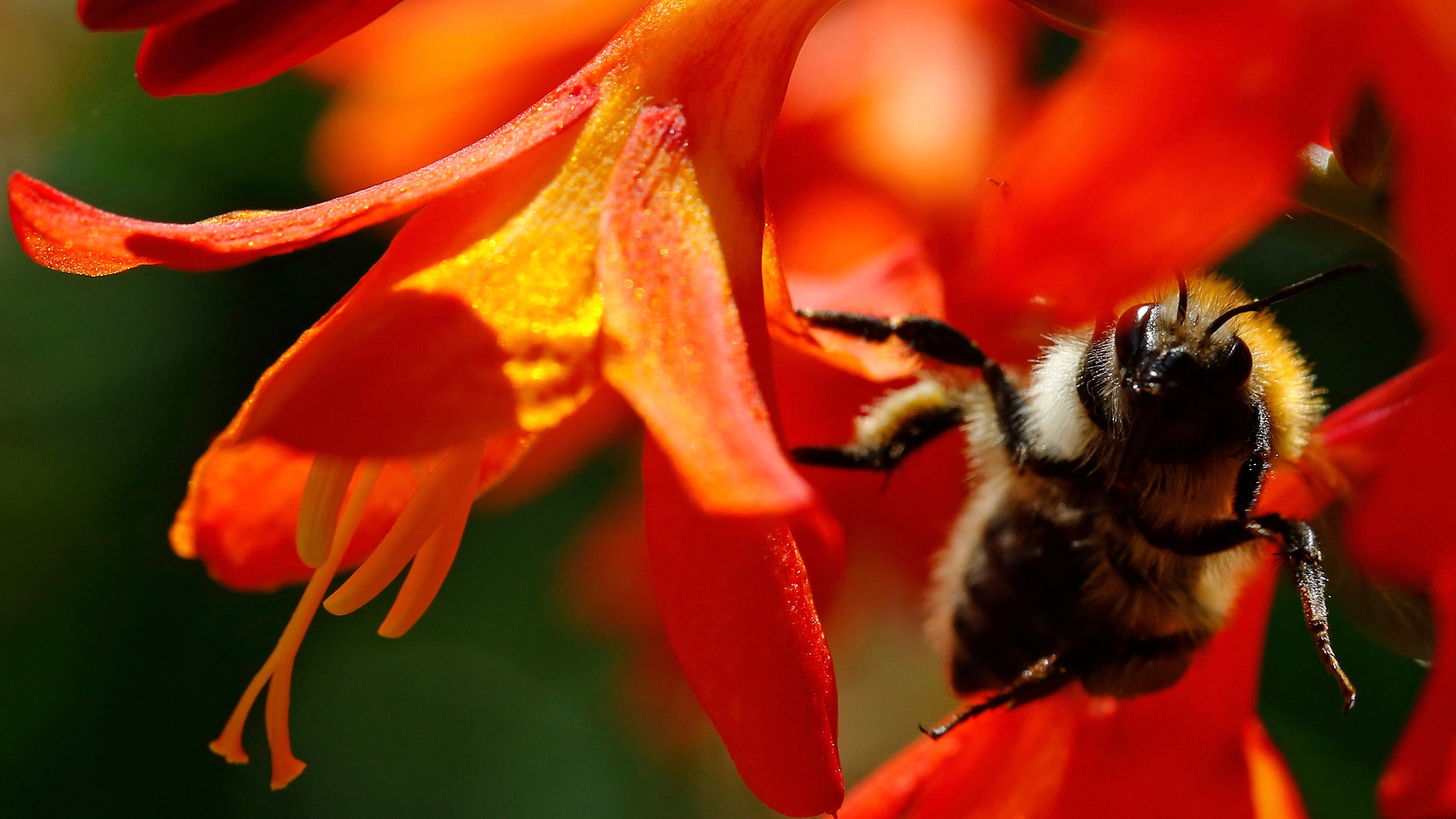 Bee on red flower.