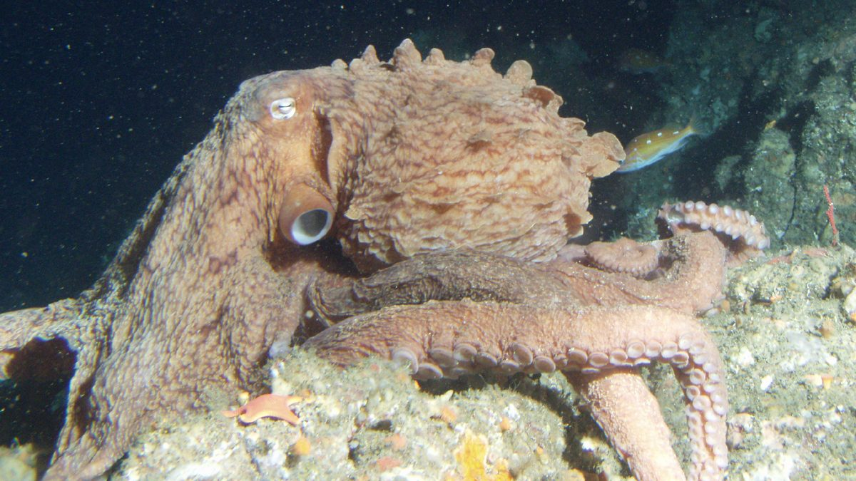 A giant Pacific octopus