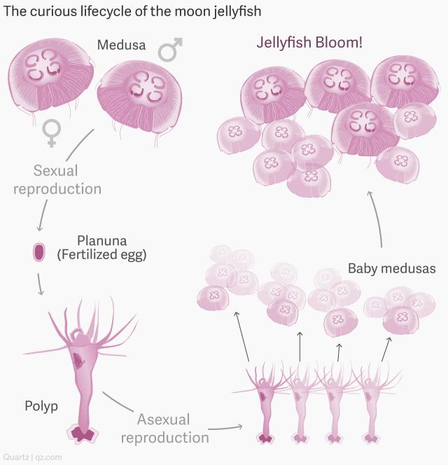 jellyfish4-1