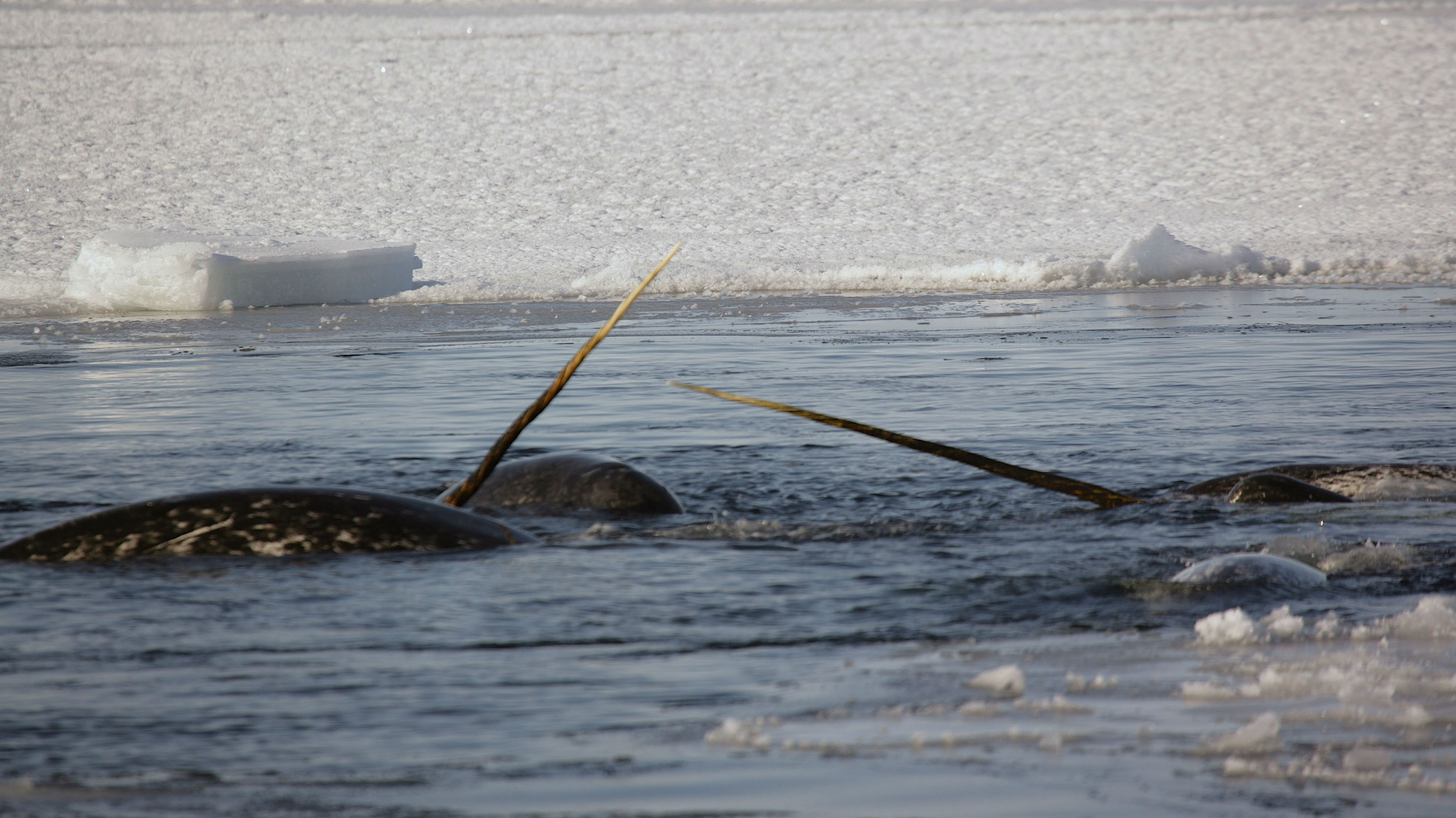 Narwhals, with their tusks in the Arctic Ocean.