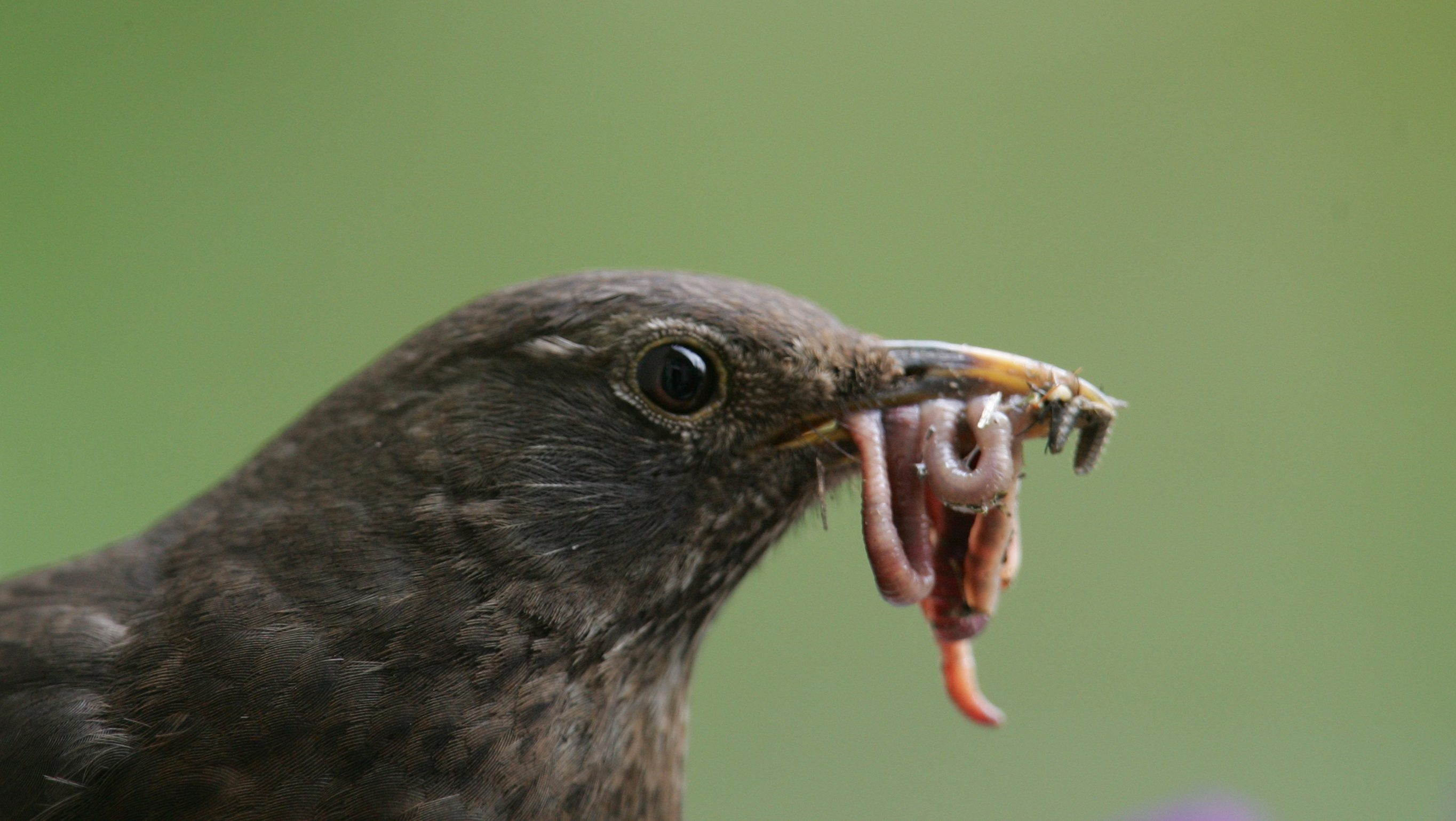 A female Blackbird holding worms in her beak, arrives to feed her recently hatched chicks at her nest in the Berlin district of Prenzlauerberg.  A female Blackbird holding worms in her beak, arrives to feed her recently hatched chicks at her nest in a window box on the balcony of a city apartment, in the Berlin district of Prenzlauerberg April 30, 2005. The Blackbird (Turdus merula) is a European member of the thrush family and is commonly found in woods and gardens.