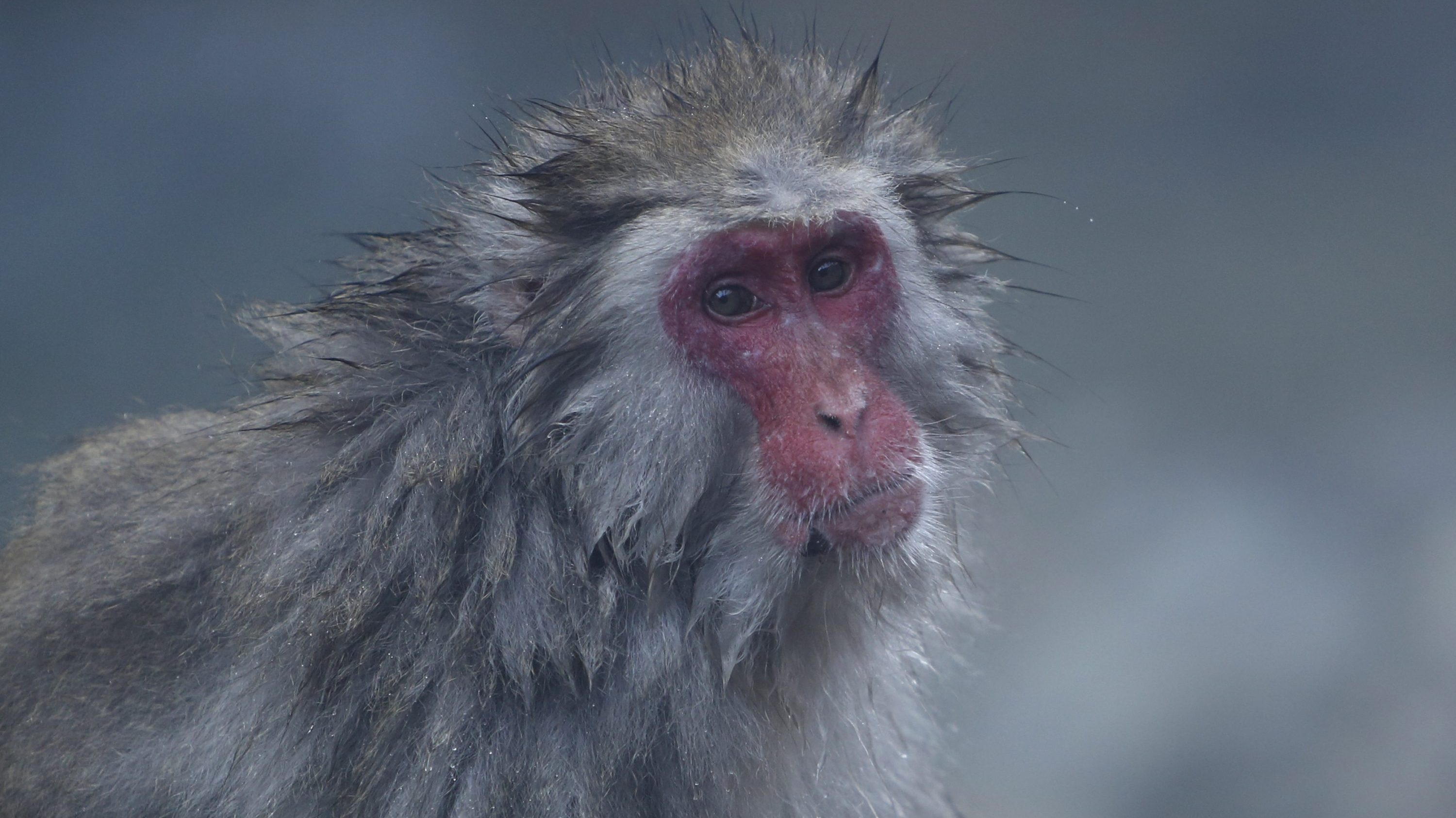 A Japanese macaque (or so called Snow Monkey) takes a rest on rocks after soaking in a hot spring at a valley in Yamanouchi town, Nagano prefecture, Japan, November 30, 2015.