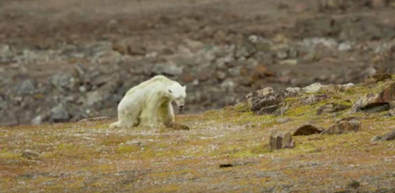 Screen capture of Paul Nicklen's video of a polar bear starving