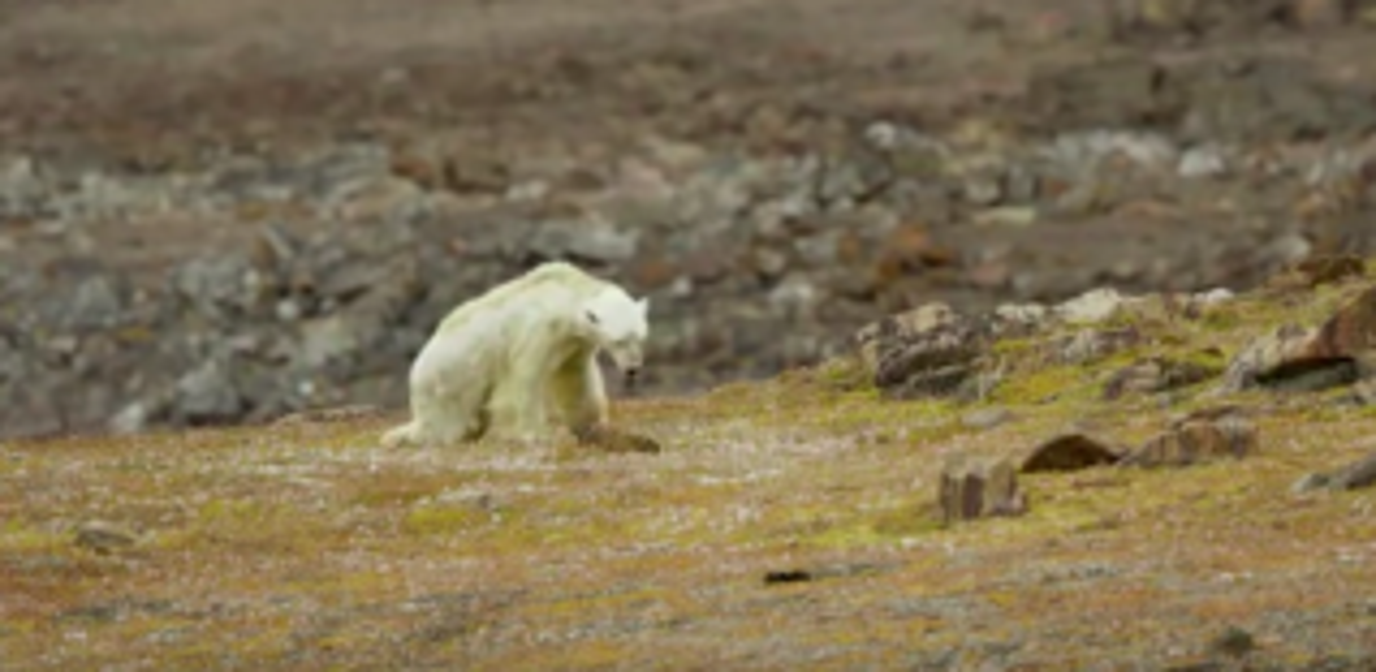 Screen capture of Paul Nicklen's video of a polar bear starving