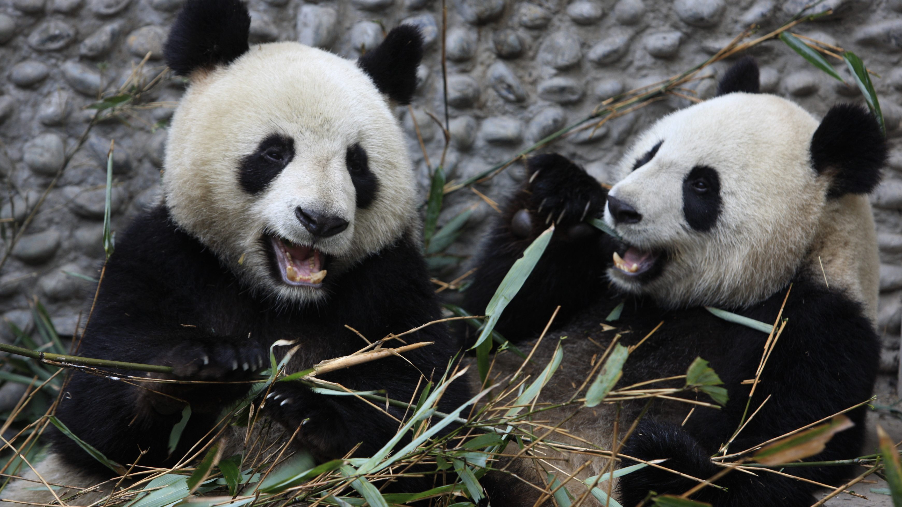 Giant Pandas Yuan Zai (L) and Huan Huan eat bamboo branches at Chengdu Research Base of Giant Panda breeding in Chengdu, Sichuan province January 9, 2012. The two giant pandas will be loaned to ZooParc de Beauval in France on January 15, 2012. Picture taken January 9, 2012.