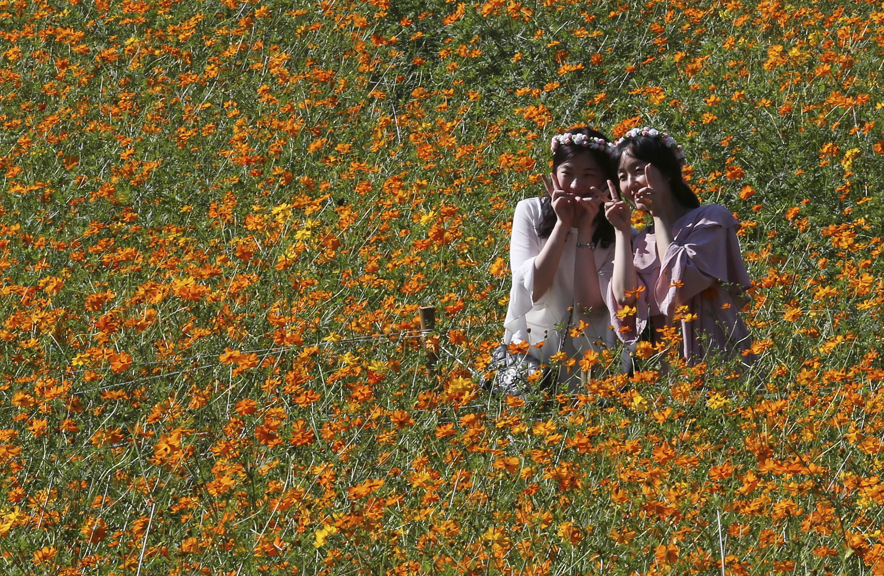 Women pose to take pictures in the middle of a field of cosmos flowers at the Olympic Park in Seoul, South Korea, Wednesday, Sept. 13, 2017.