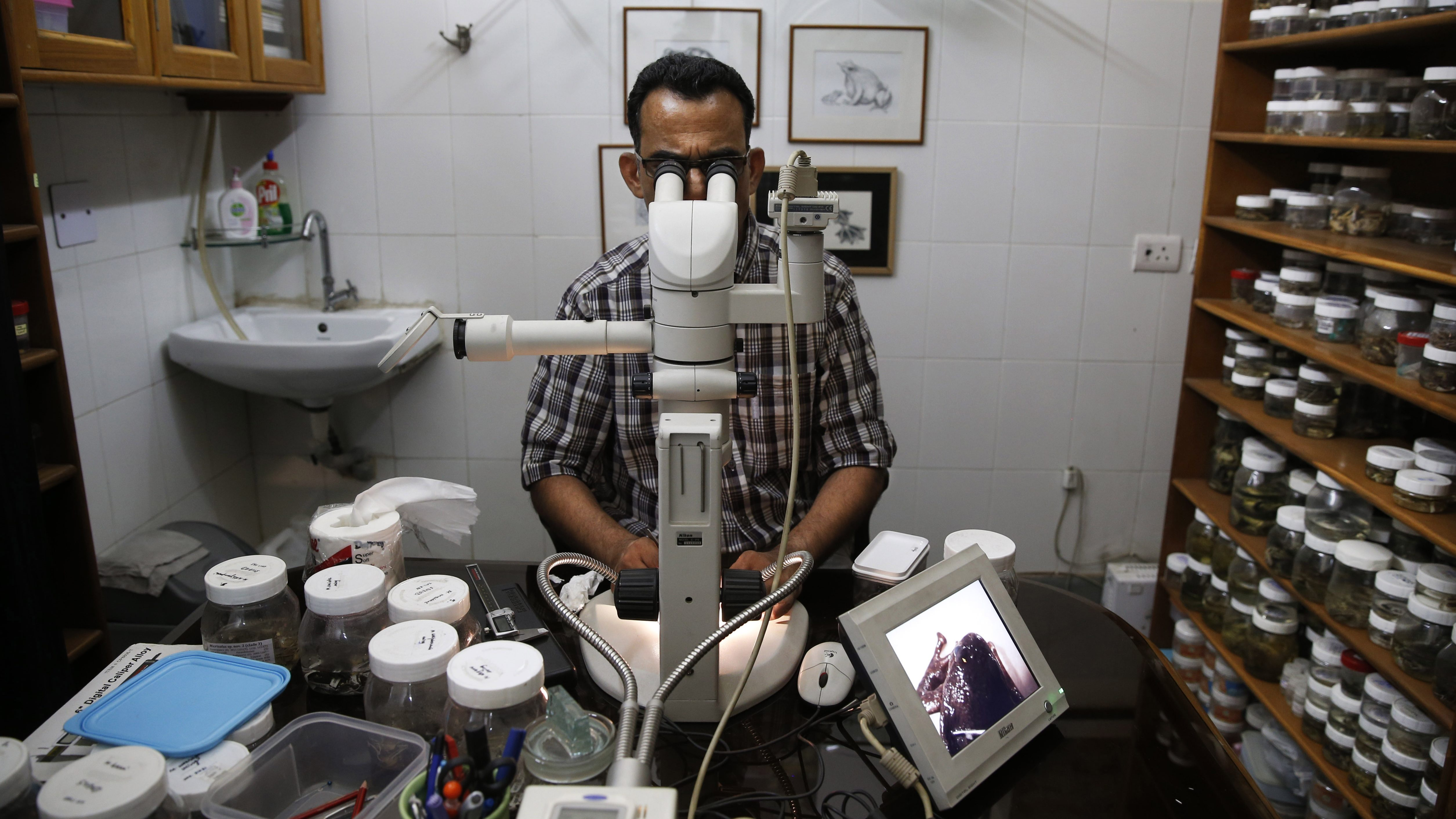 In this Thursday, May 1, 2014 photo, University of Delhi professor Sathyabhama Das Biju, lead scientist of a project that has discovered 14 new species of so-called dancing frogs in the jungle mountains of southern India, looks through an electronic microscope as he studies a frog at his laboratory in New Delhi, India. The study listing the new species brings the number of known Indian dancing frogs to 24 and attempts the first near-complete taxonomic sampling of the single-genus family found exclusively in southern India's lush mountain range called the Western Ghats, which stretches 1,600 kilometers (990 miles) from the west state of Maharashtra down to the country's southern tip. (AP Photo/Saurabh Das)