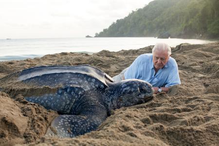 Picture shows: The leatherback turtle. Weighing over half a ton, it is largest turtle on the planet but globally, its numbers have fallen catastrophically. Sir David Attenborough travels to Trinidad to meet a remarkable community that are trying to save these iconic giants.