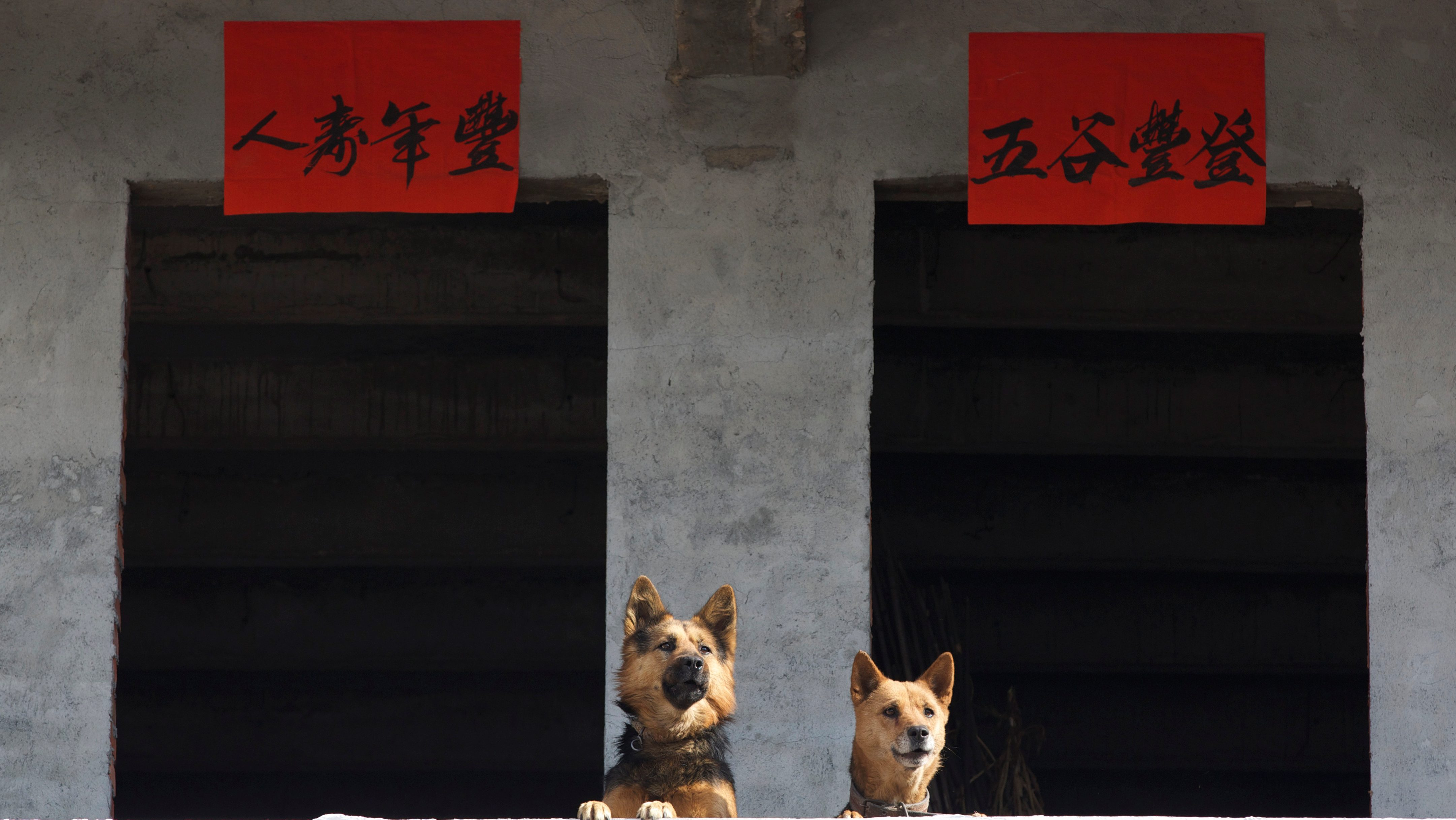 Dogs are seen next to Lunar New Year decorations during a celebration ahead of Year of the Dog in Jinhua, Zhejiang province, China January 16, 2018. Picture taken January 16, 2018. Yang Meiqing via REUTERS