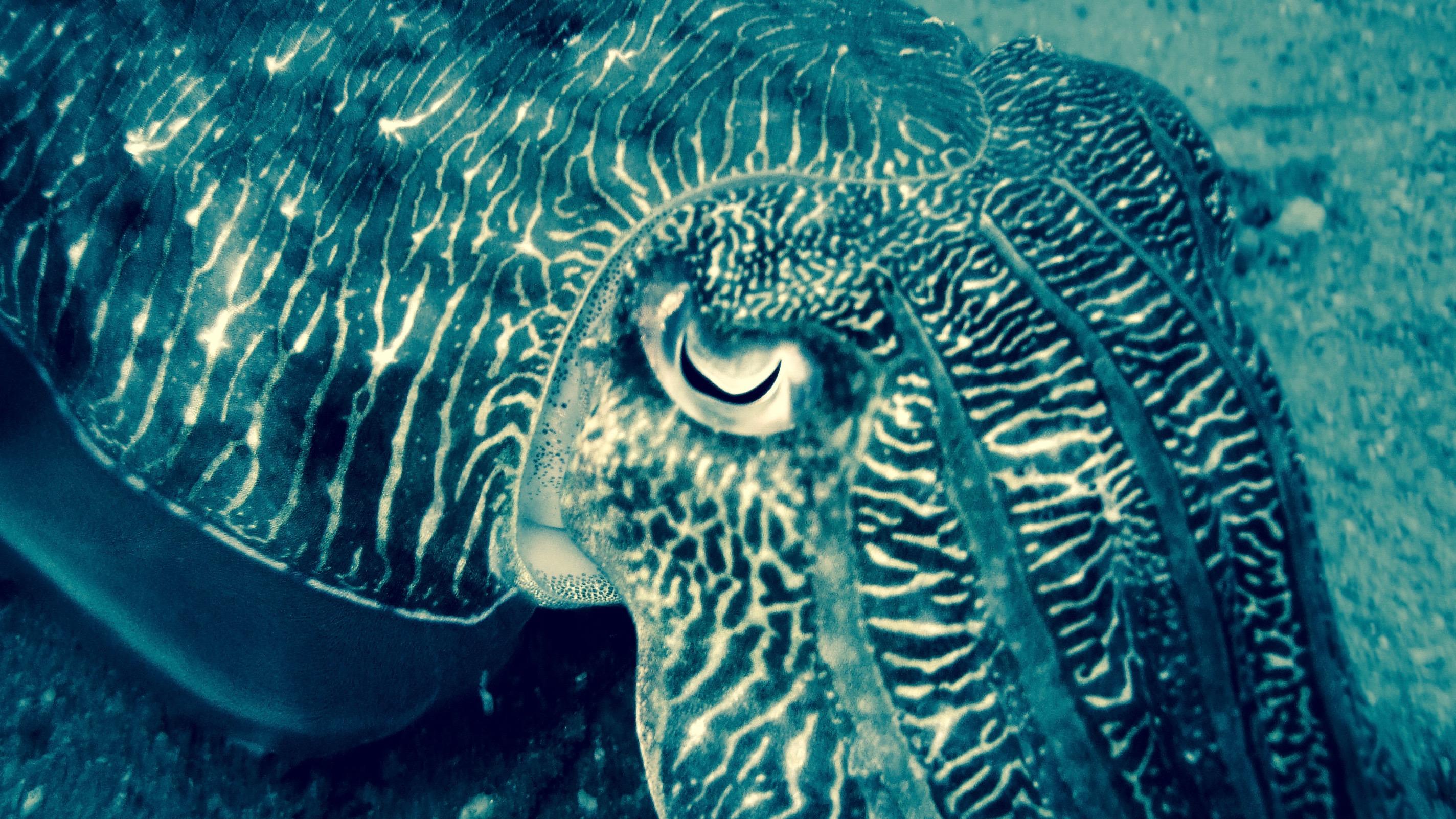 Malaysian cuttlefish.