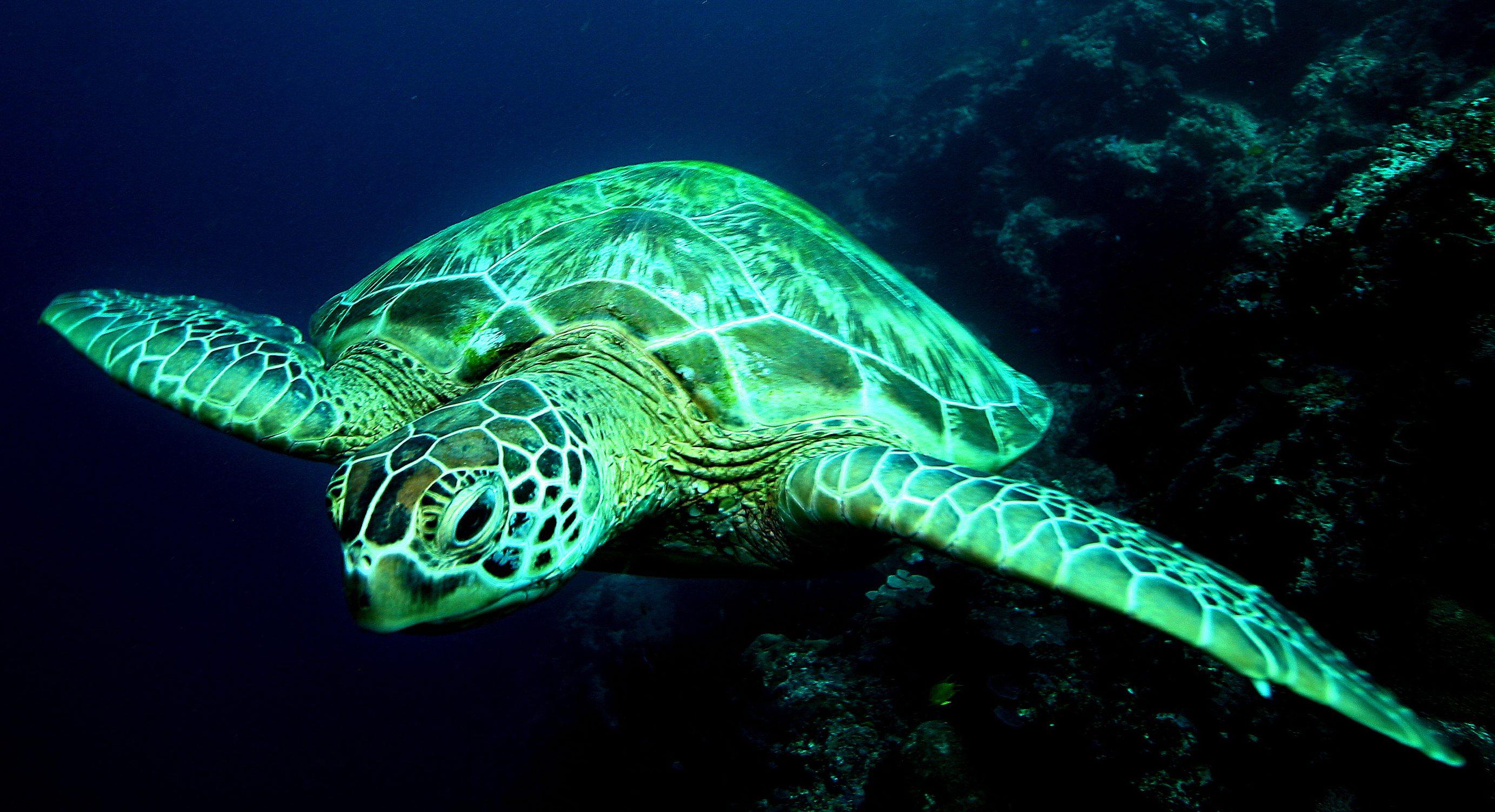 Climate change is feminizing Australia's green sea turtles
