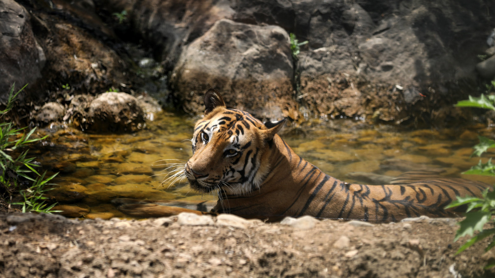An Indian Royal Bengal tiger cools off in water inside the Sanjay Gandhi National Park in Mumbai, India, 03 May 2017. According to reports, large parts of Maharashtra is under heatwave, with unusual temperature hovering above 40 degree Celsius.