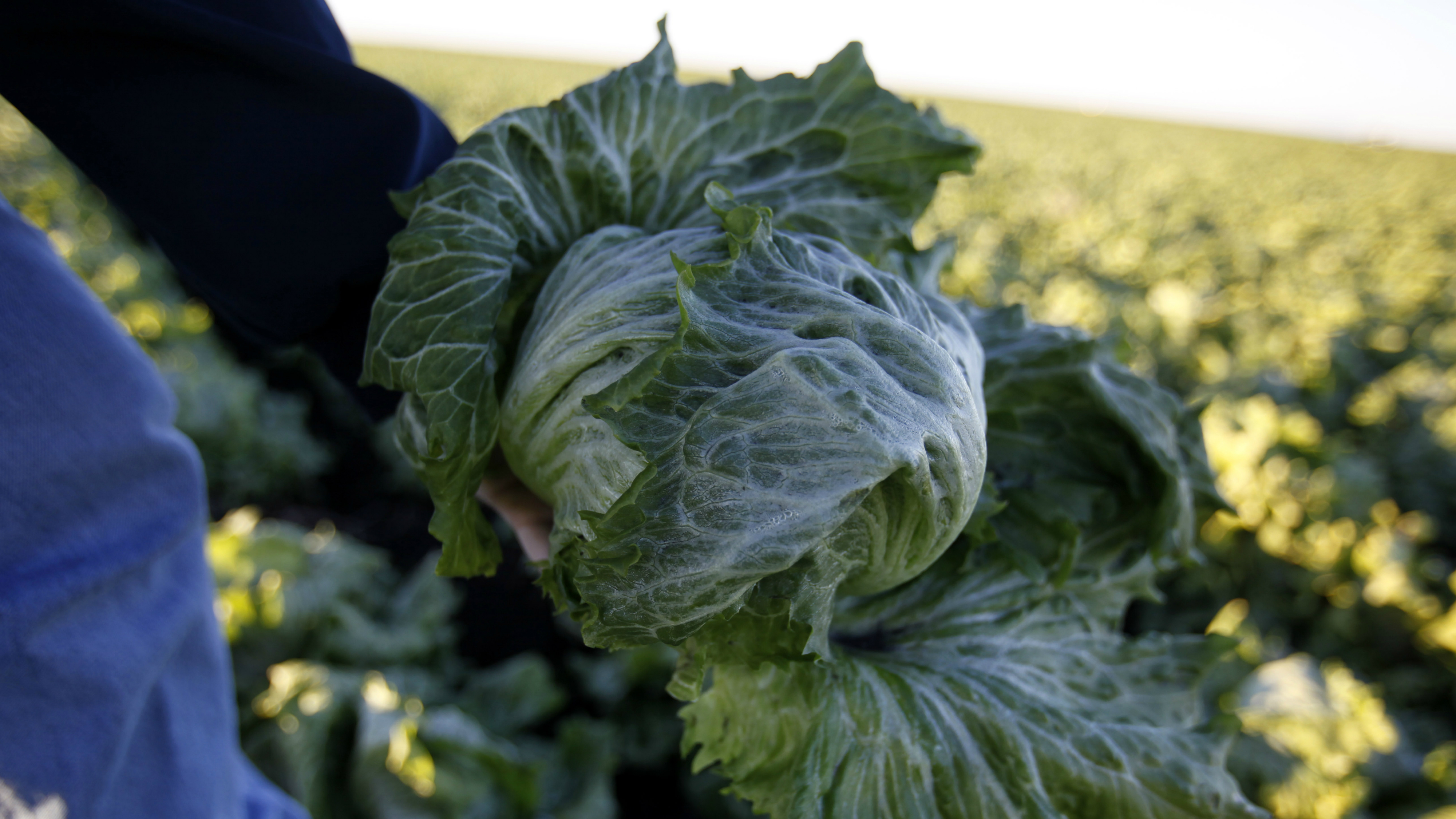 35 reported cases of E. coli linked to romaine lettuce: CDC