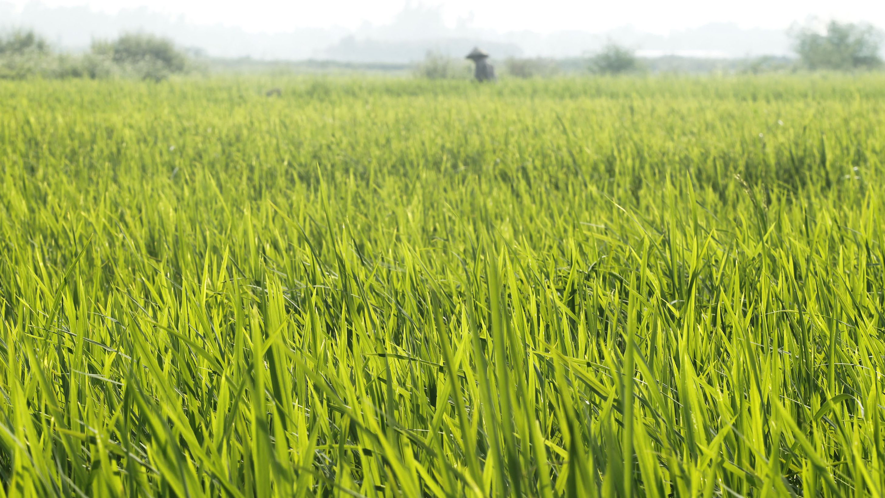 A farmer works on a rice paddy field outside Hanoi September 28, 2011.